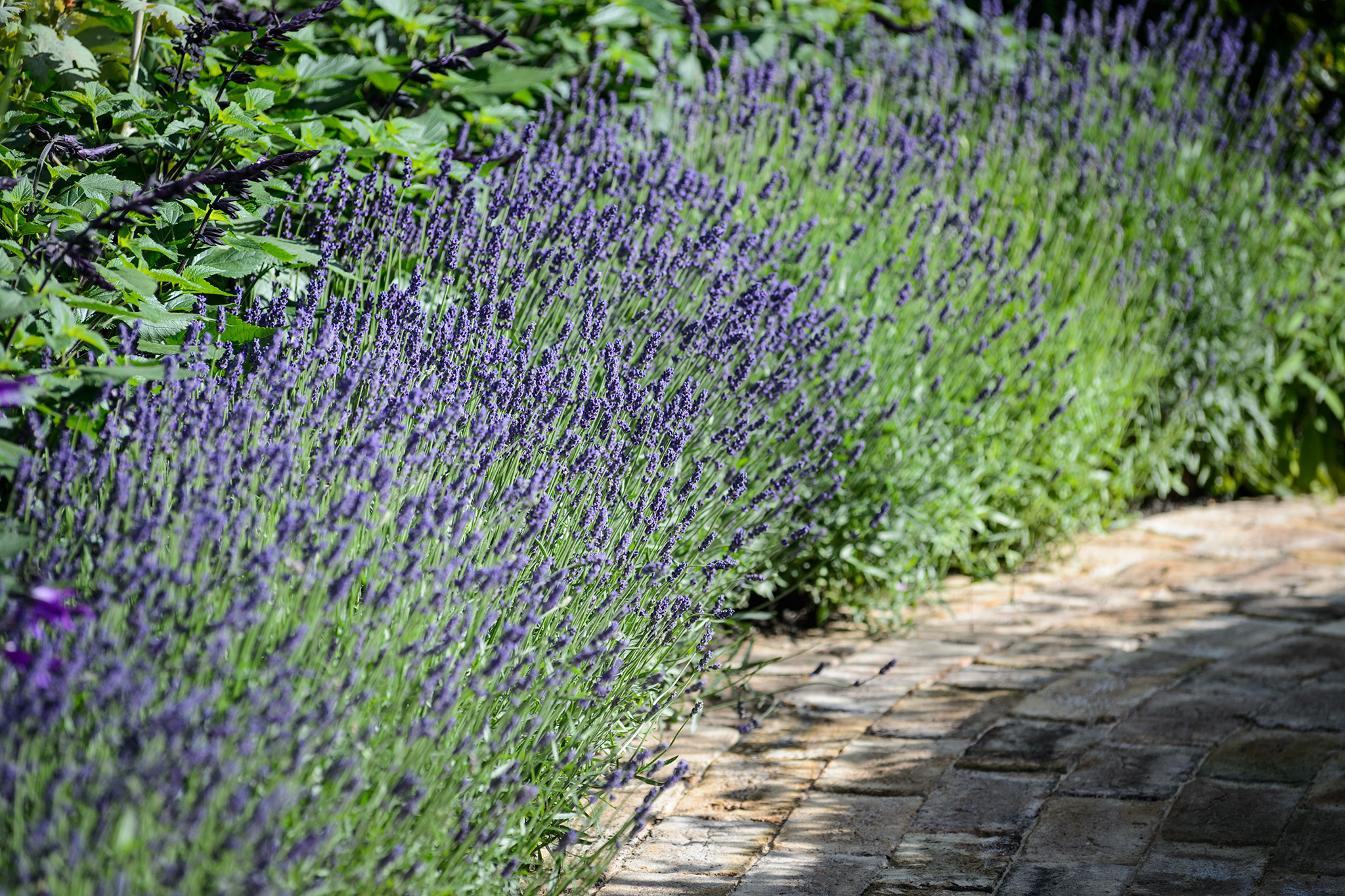 lavender-at-the-edge-of-a-border-3