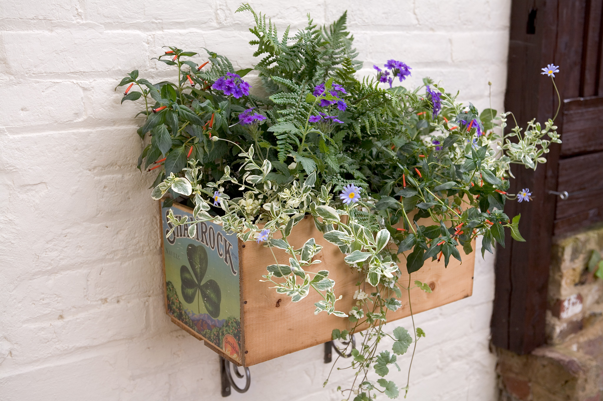 container-for-shade-planted-with-verbena-dryopteris-felicia-cuphea-and-glechoma-2