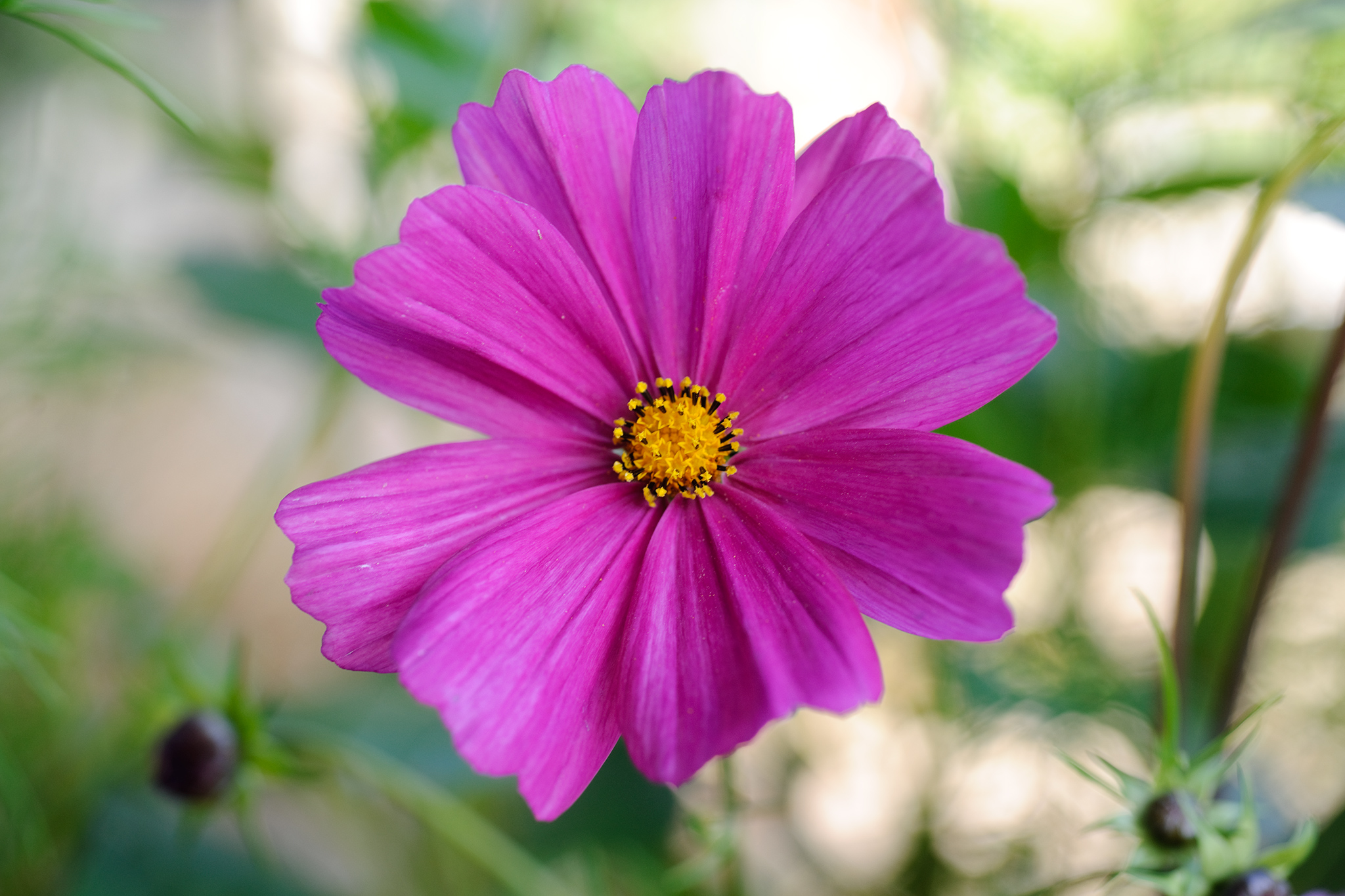 cosmos-bipinnatus-sensation-mixed-2