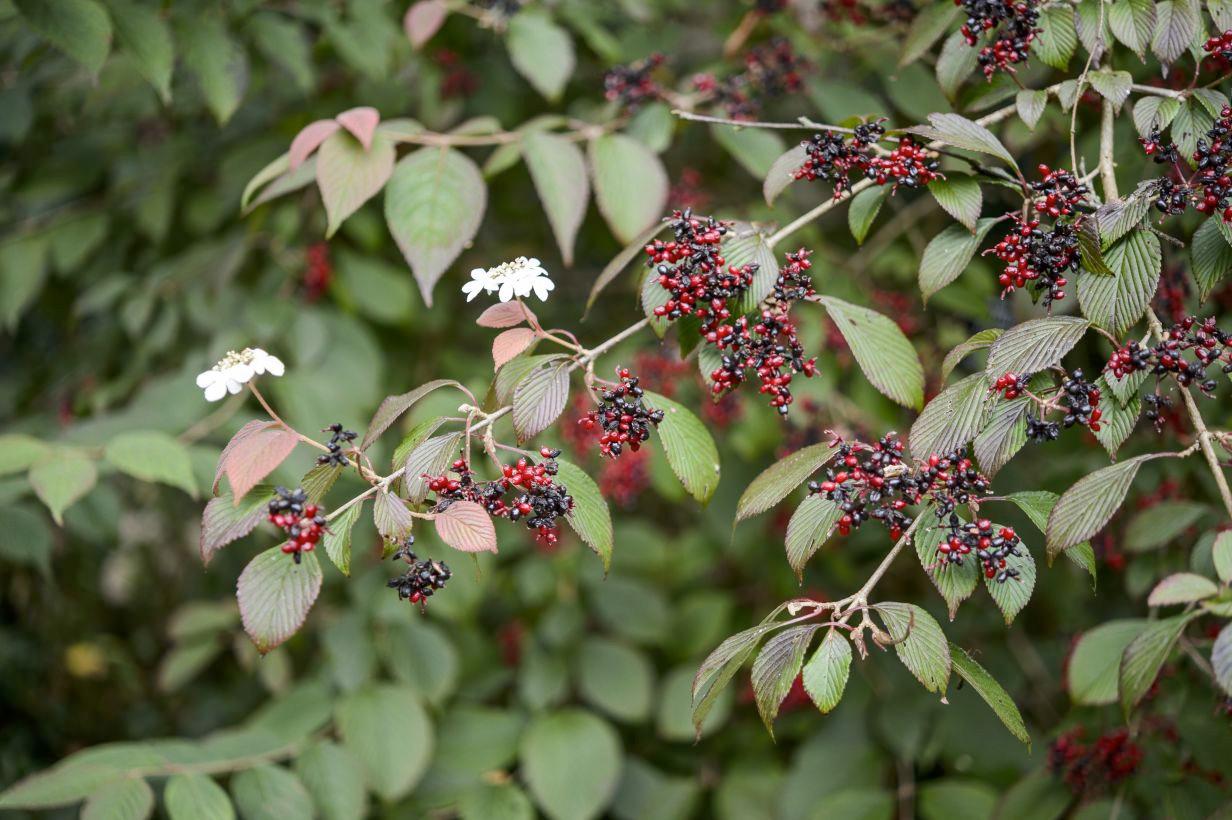 viburnum-plicatum-f-tomentosum-darts-red-robin-4