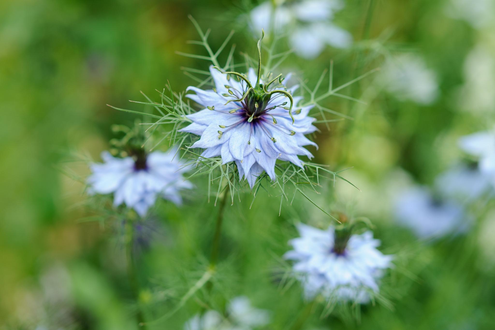 flowers-to-pick-in-august-nigella-damascena-2