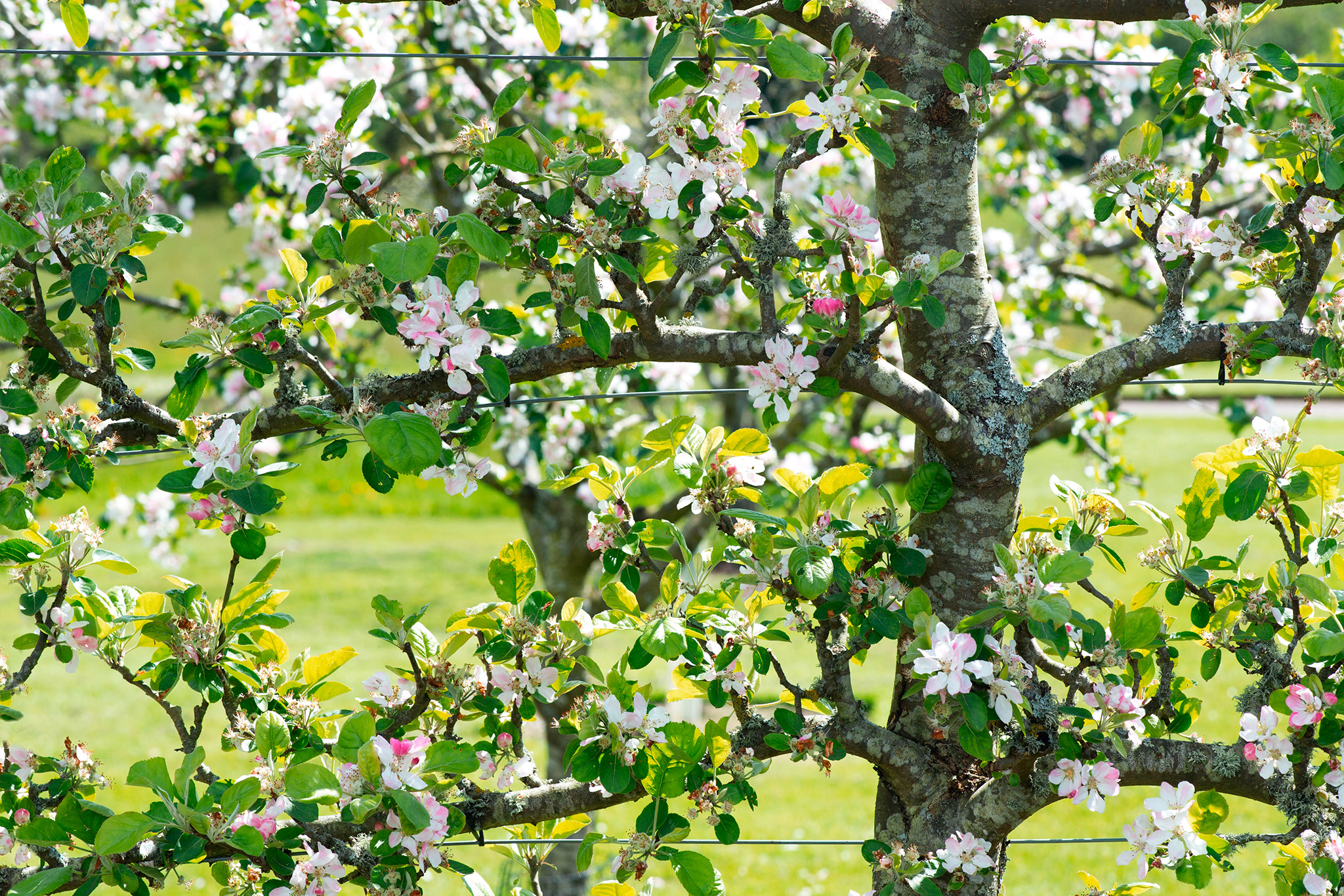 espalier-apple-tree-9