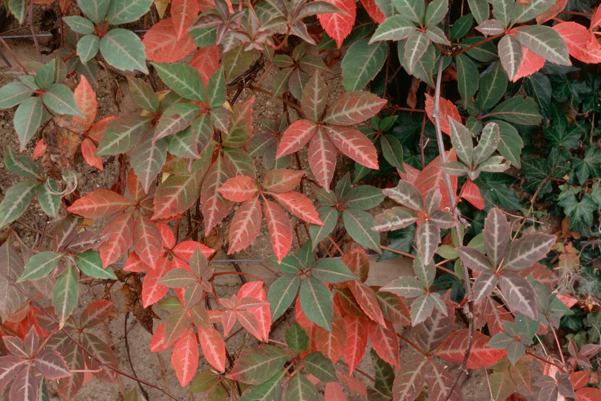 parthenocissus-henryana-7