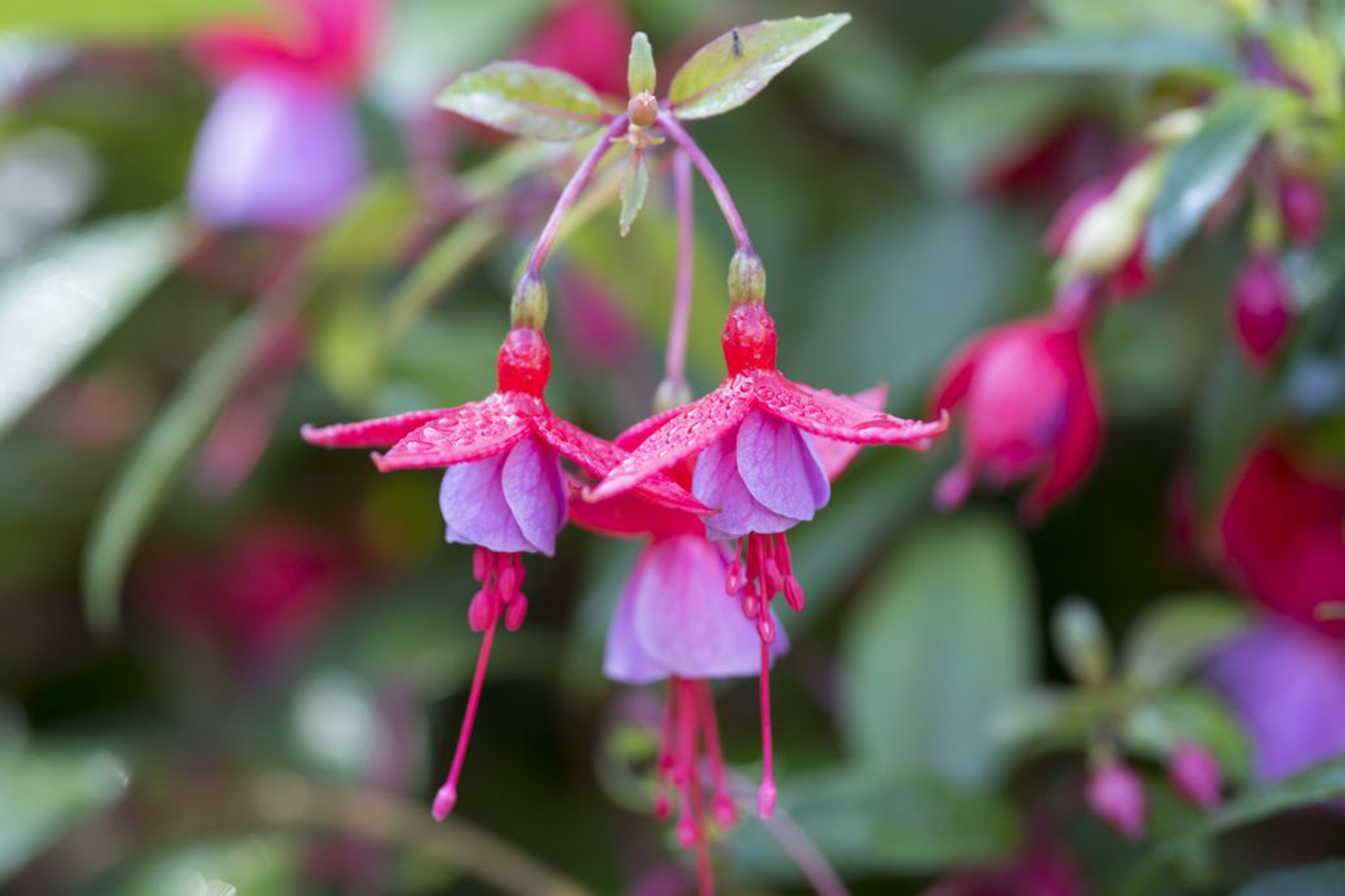 fuchsia-flowera-2