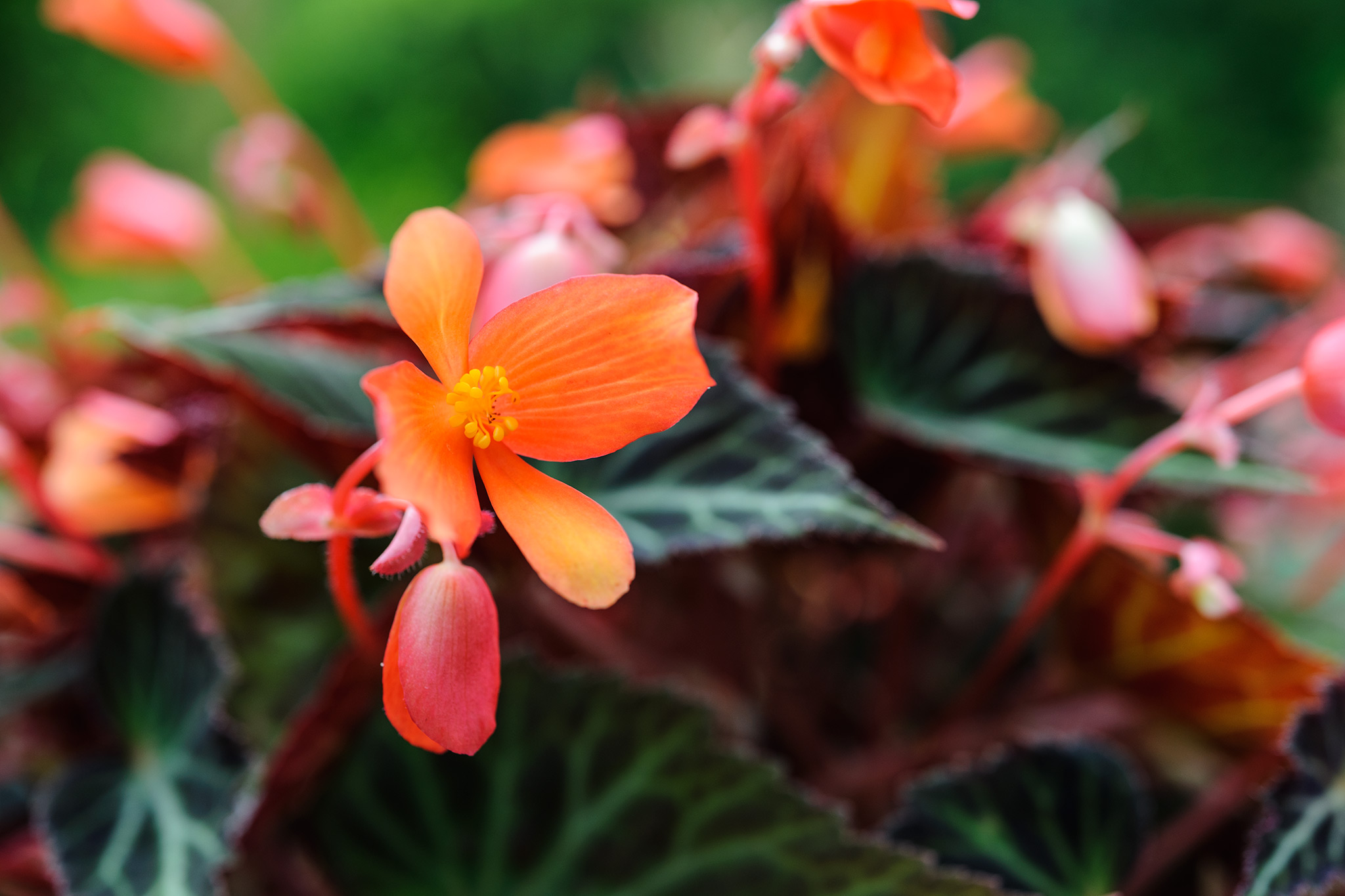 begonia-glowing-embers-2