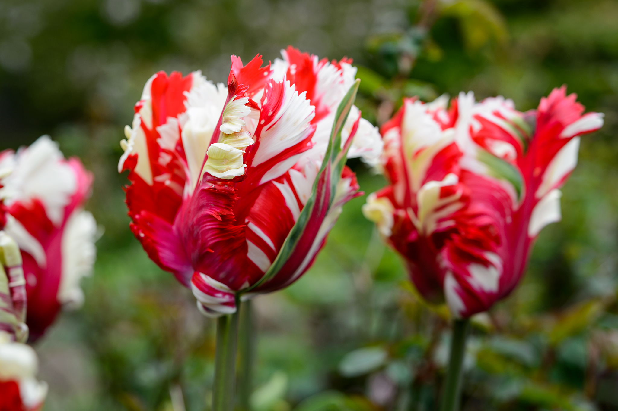 Parrot and fringed tulips to grow