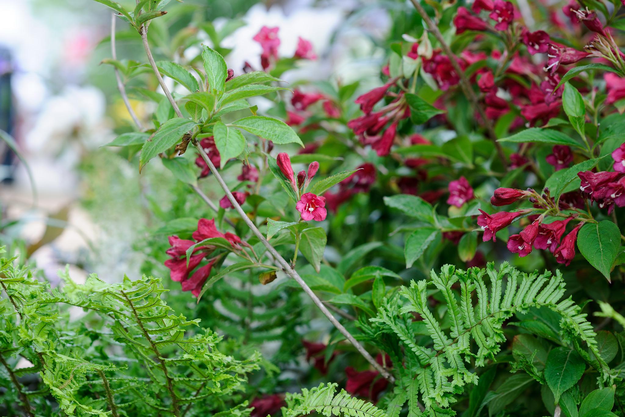 red-purple-flowered-weigela-bristol-ruby-and-dryopteris-cristata-2
