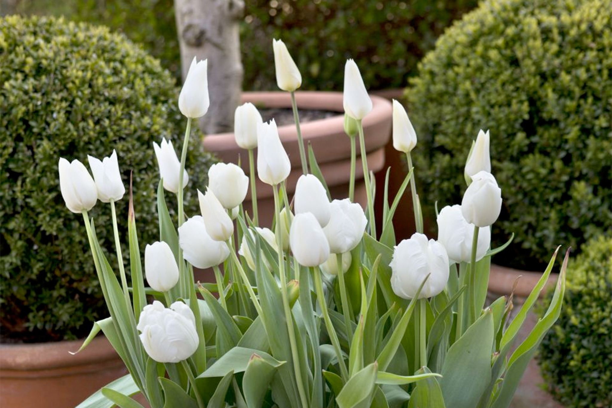 white-tulip-display-3