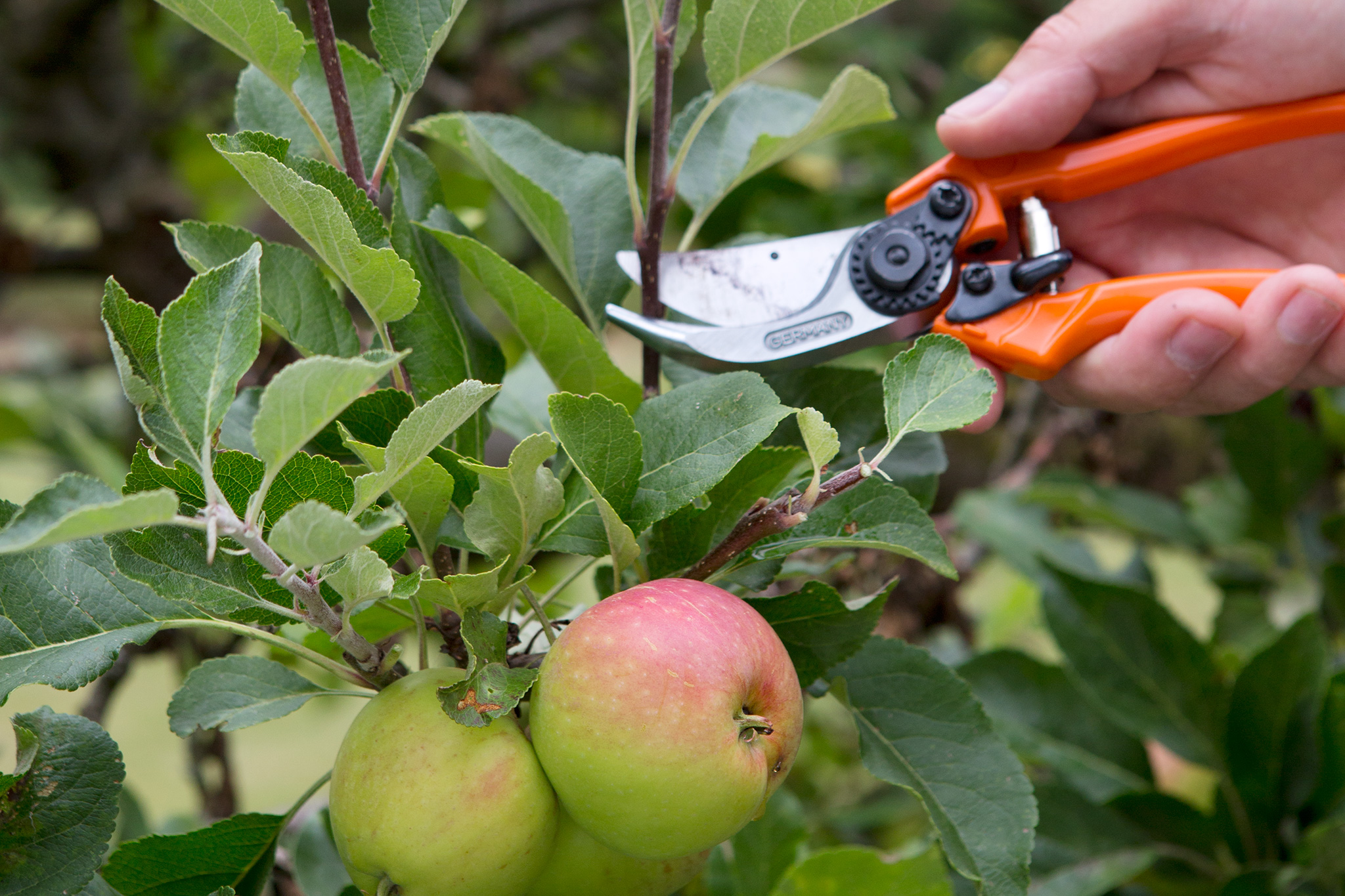 pruning-an-apple-tree-in-summer-2