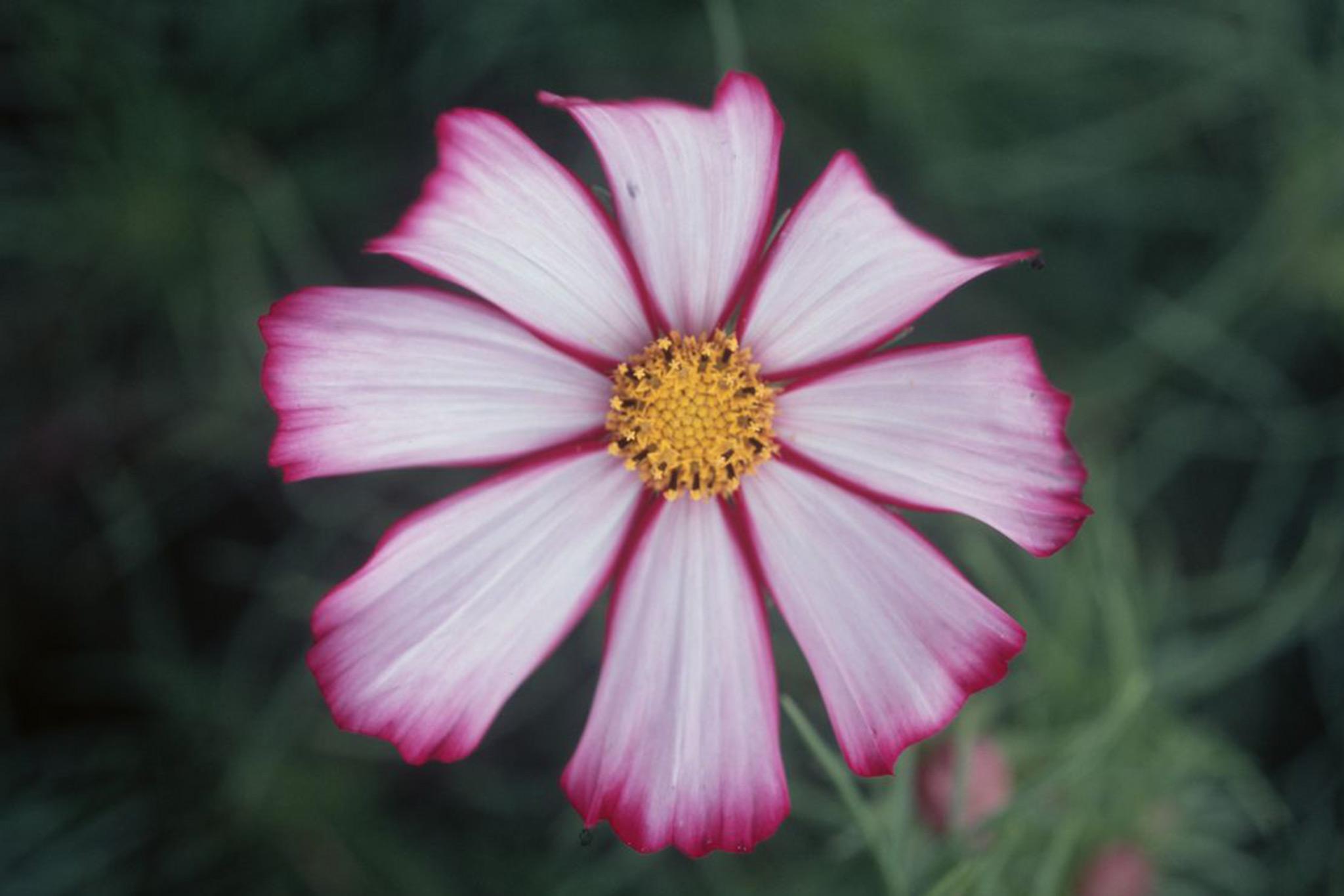 cosmos-bipinnatus-picotee-2