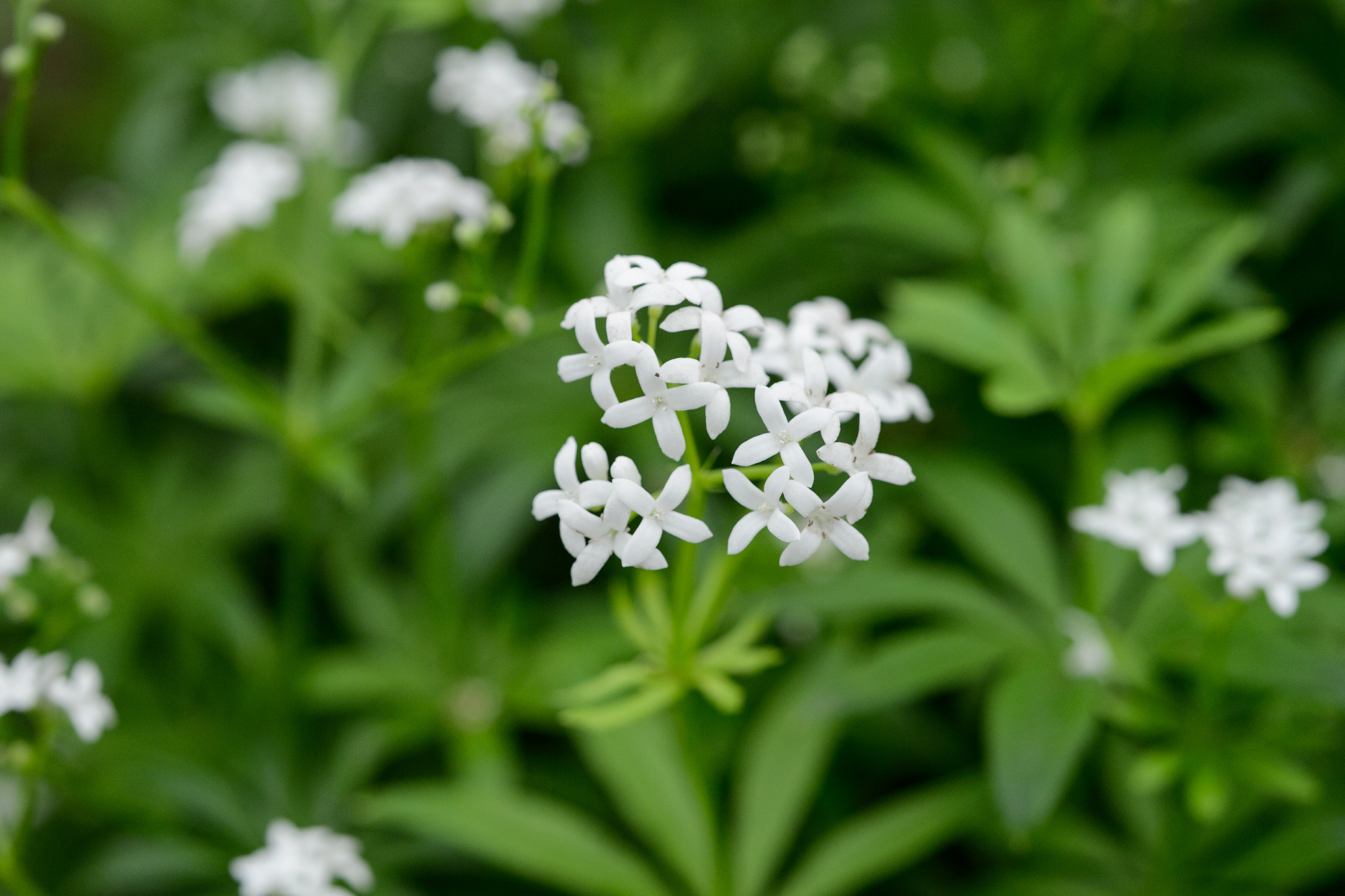 sweet-woodruff-5