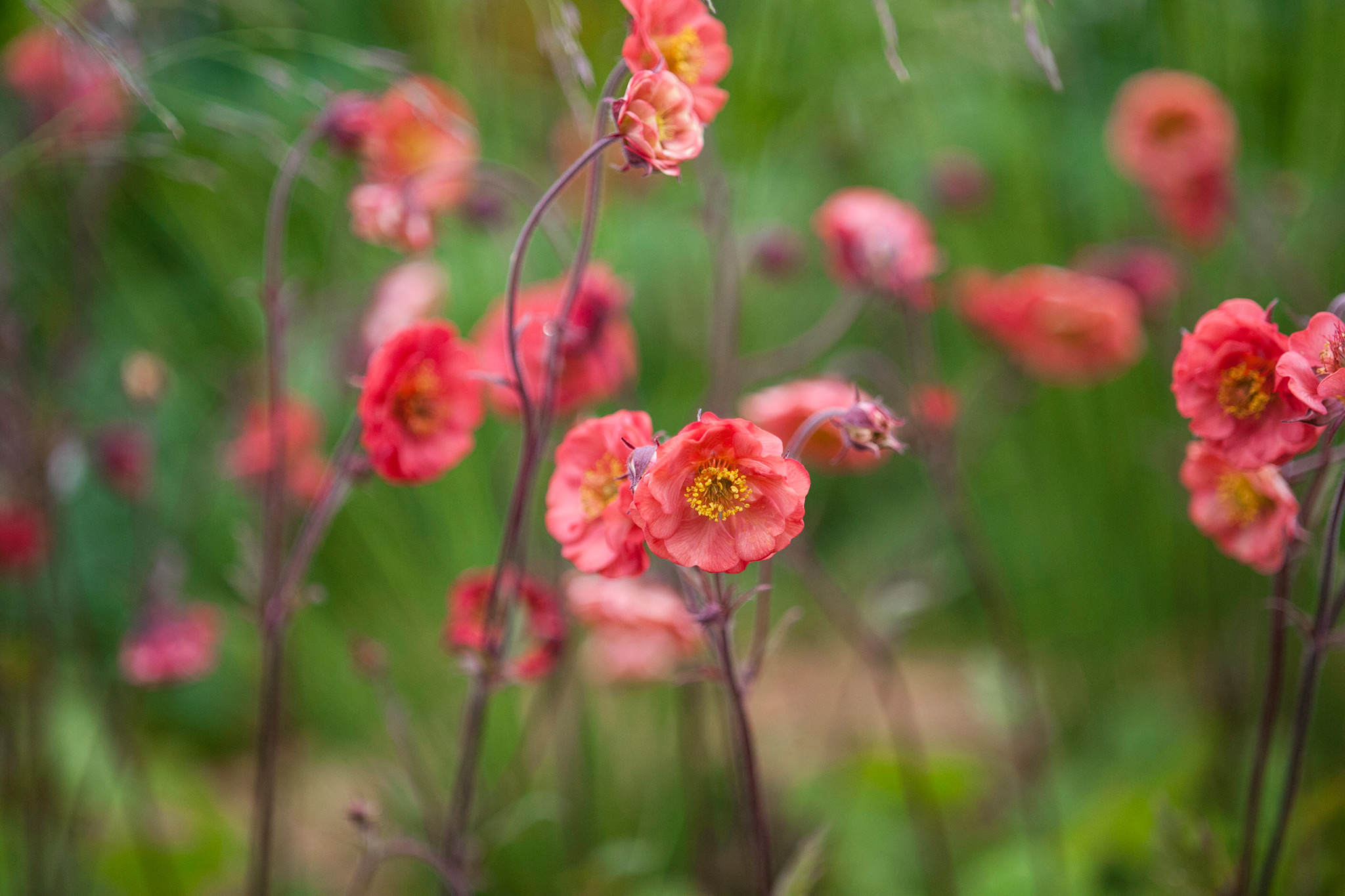 light-red-geums-3