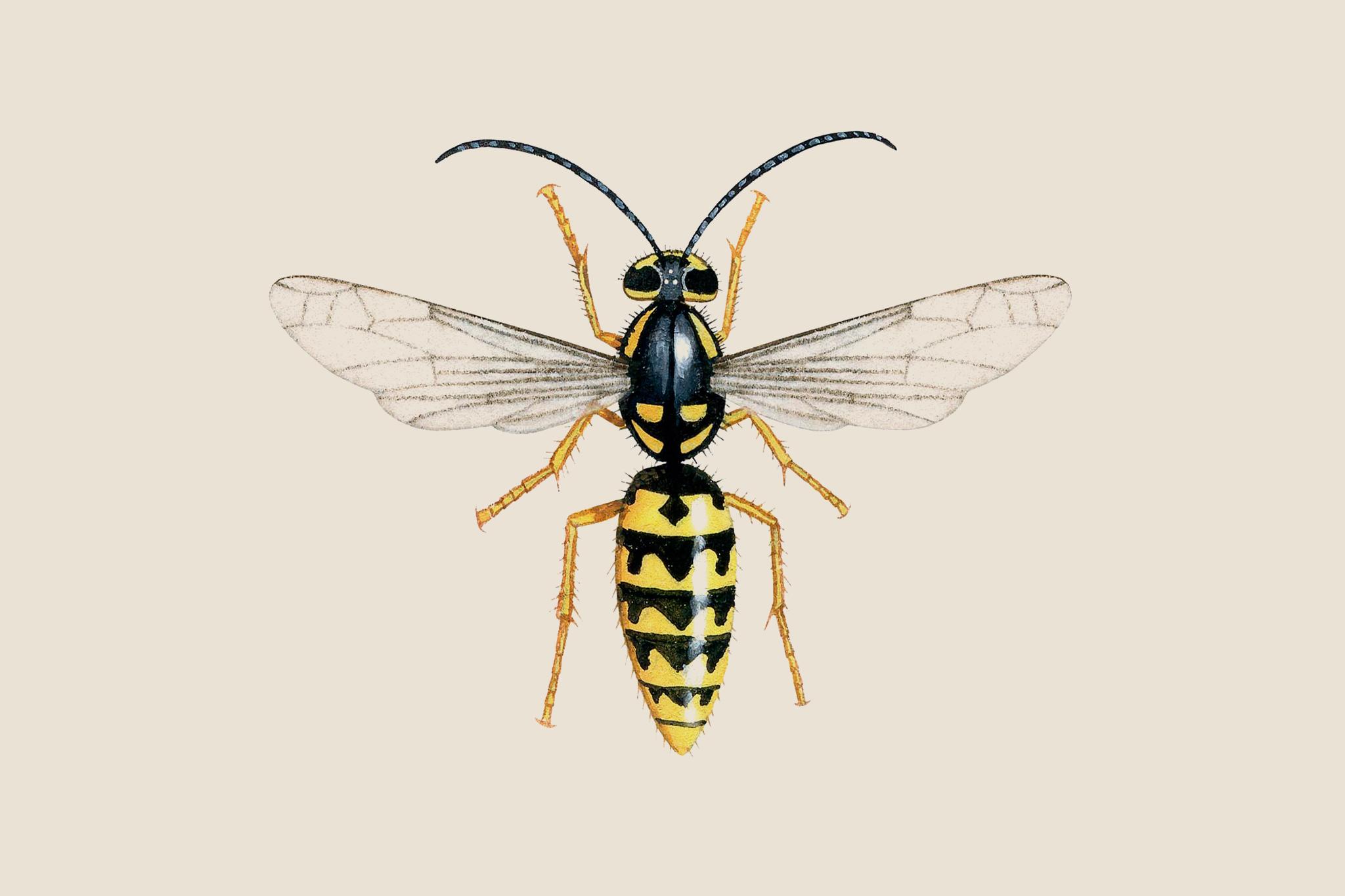 german-social-wasp-vespula-germanica-2
