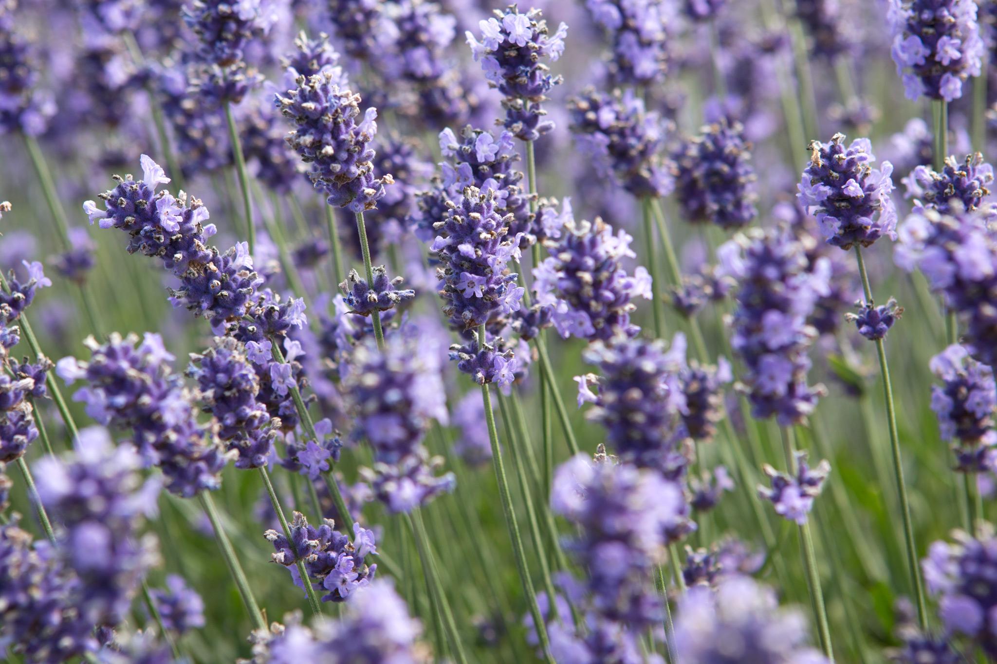 lavender-flowers-6