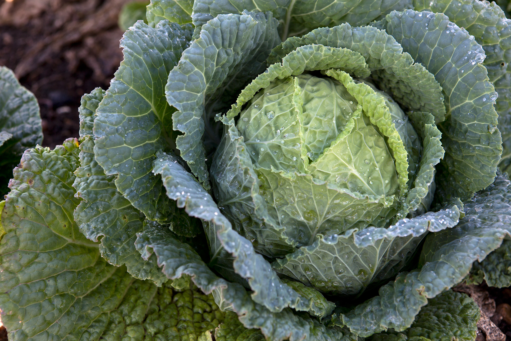 cabbages-2
