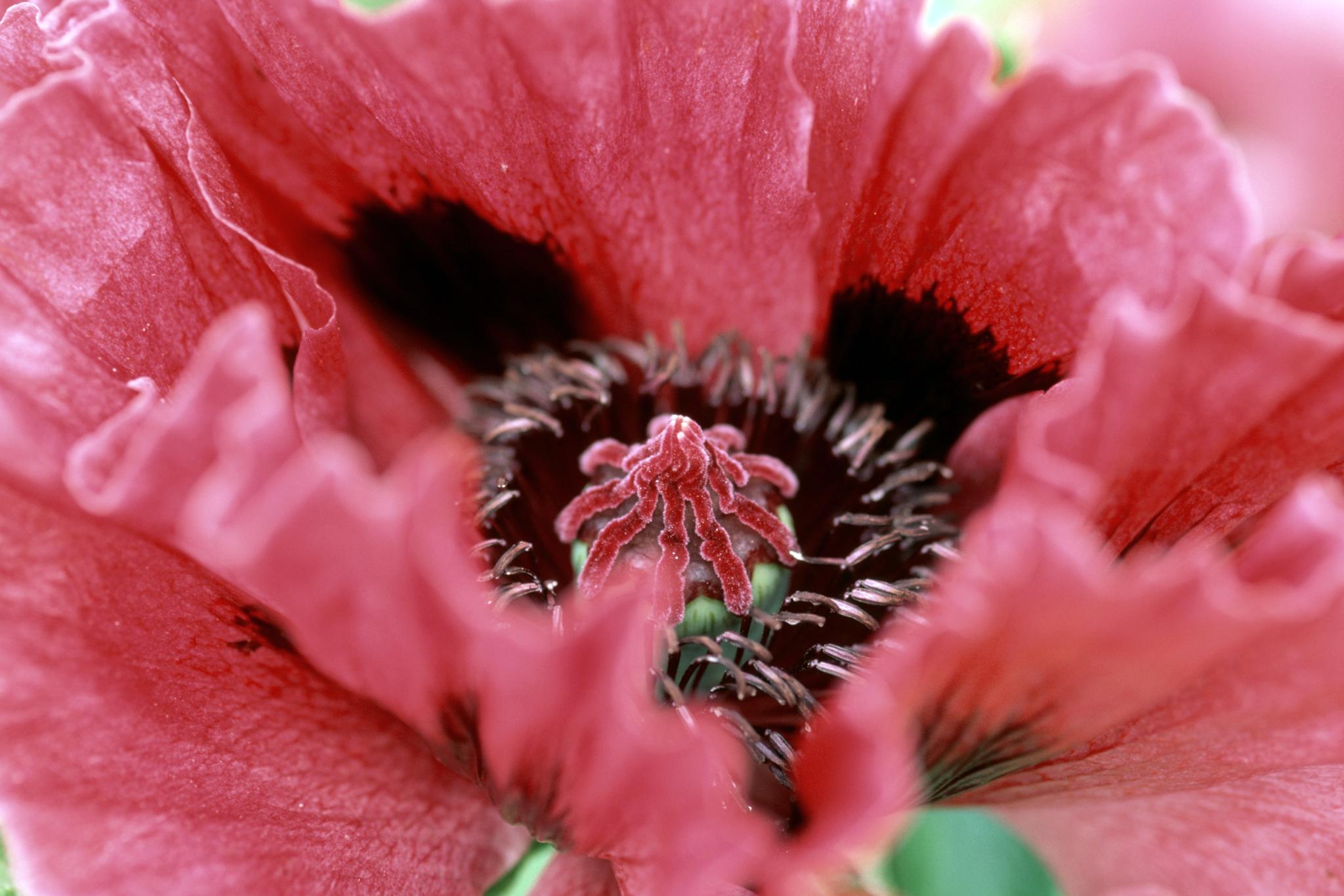 Propagating Oriental Poppies Gardenersworld