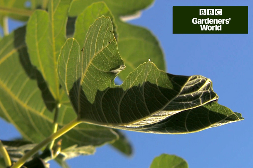 How to harvest figs video