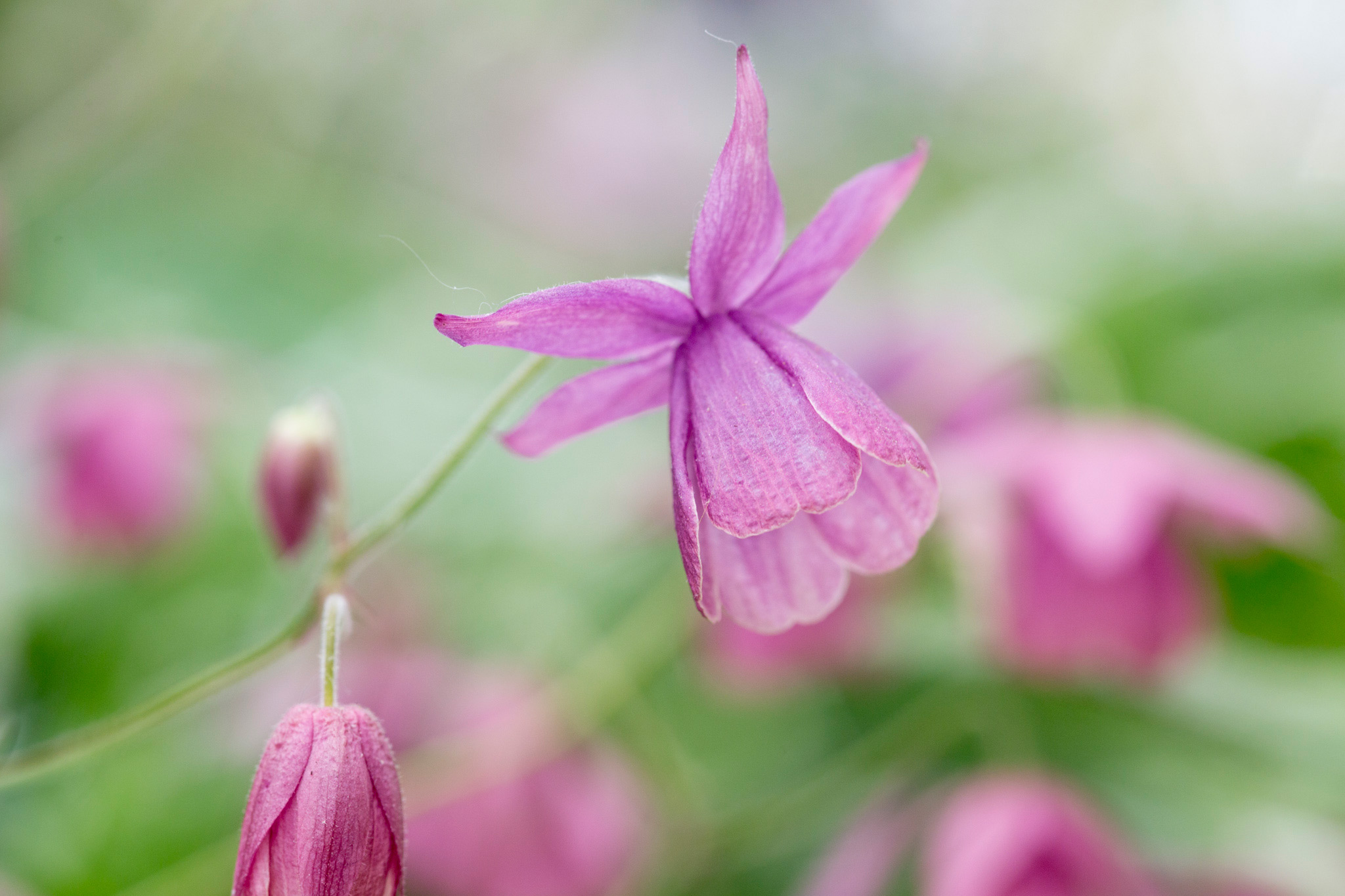 semiaquilegia-sugar-plum-fairy-4