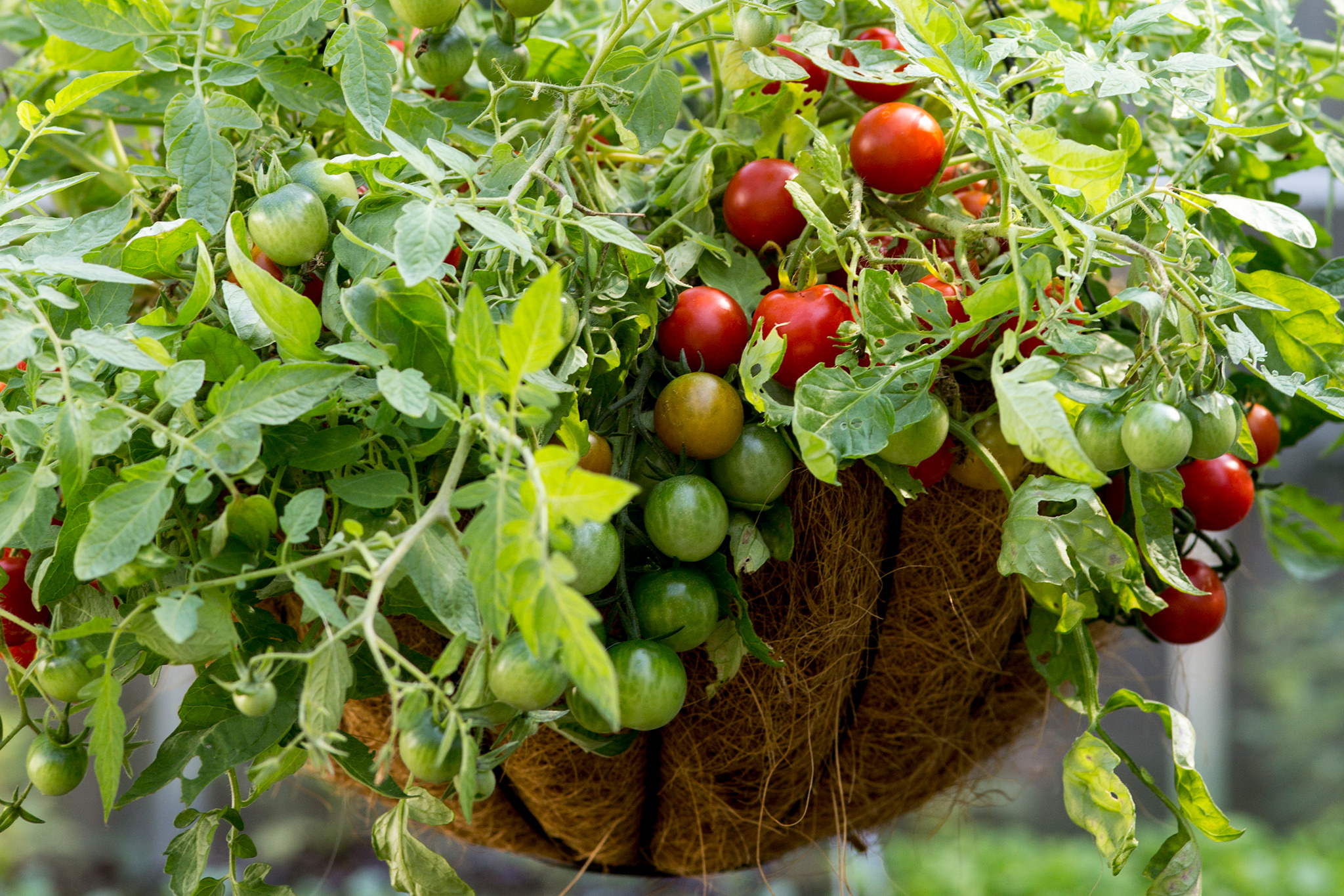 tomatoes-in-a-hanging-basket-3