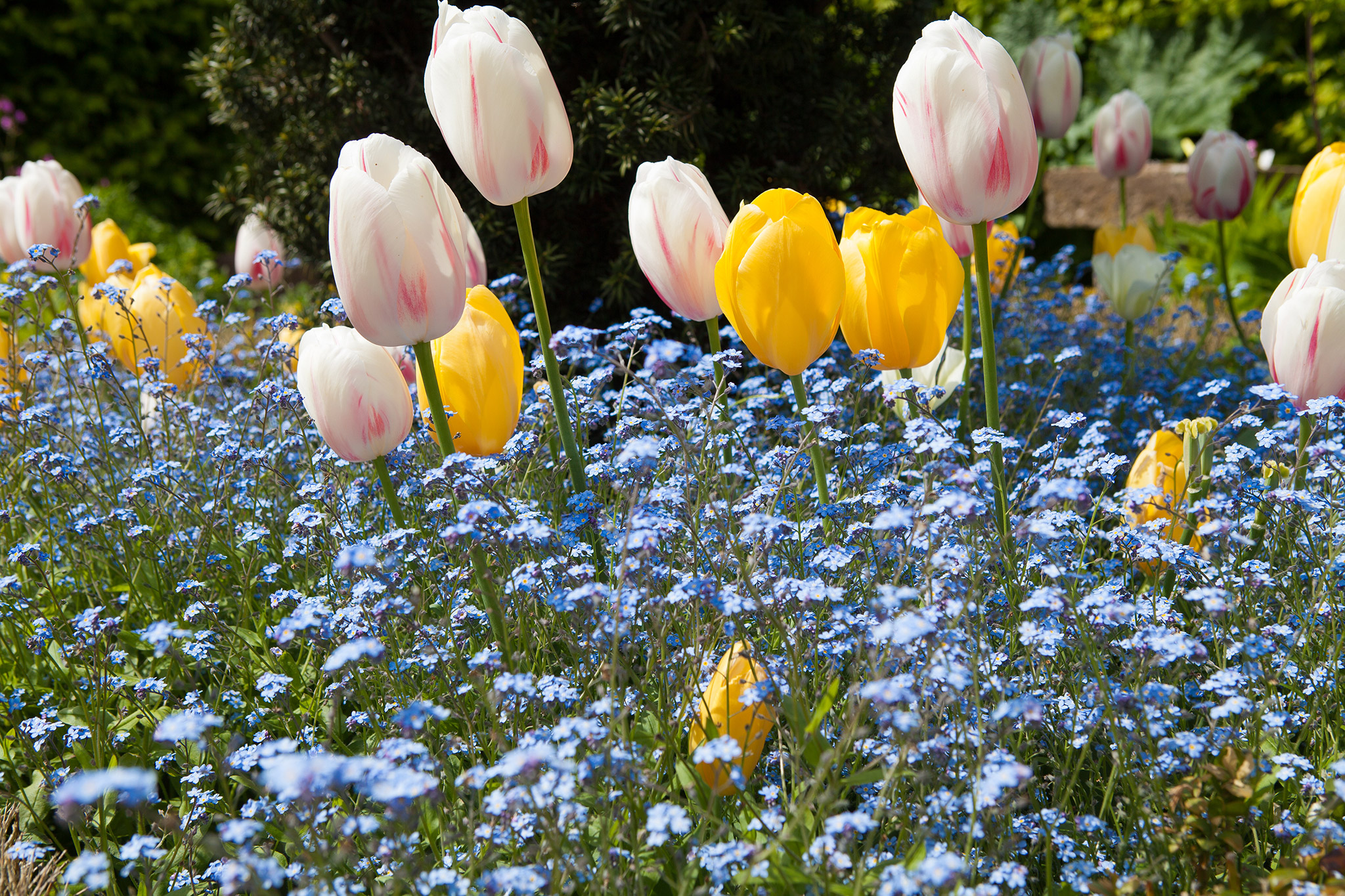 tulips-and-forget-me-nots-3