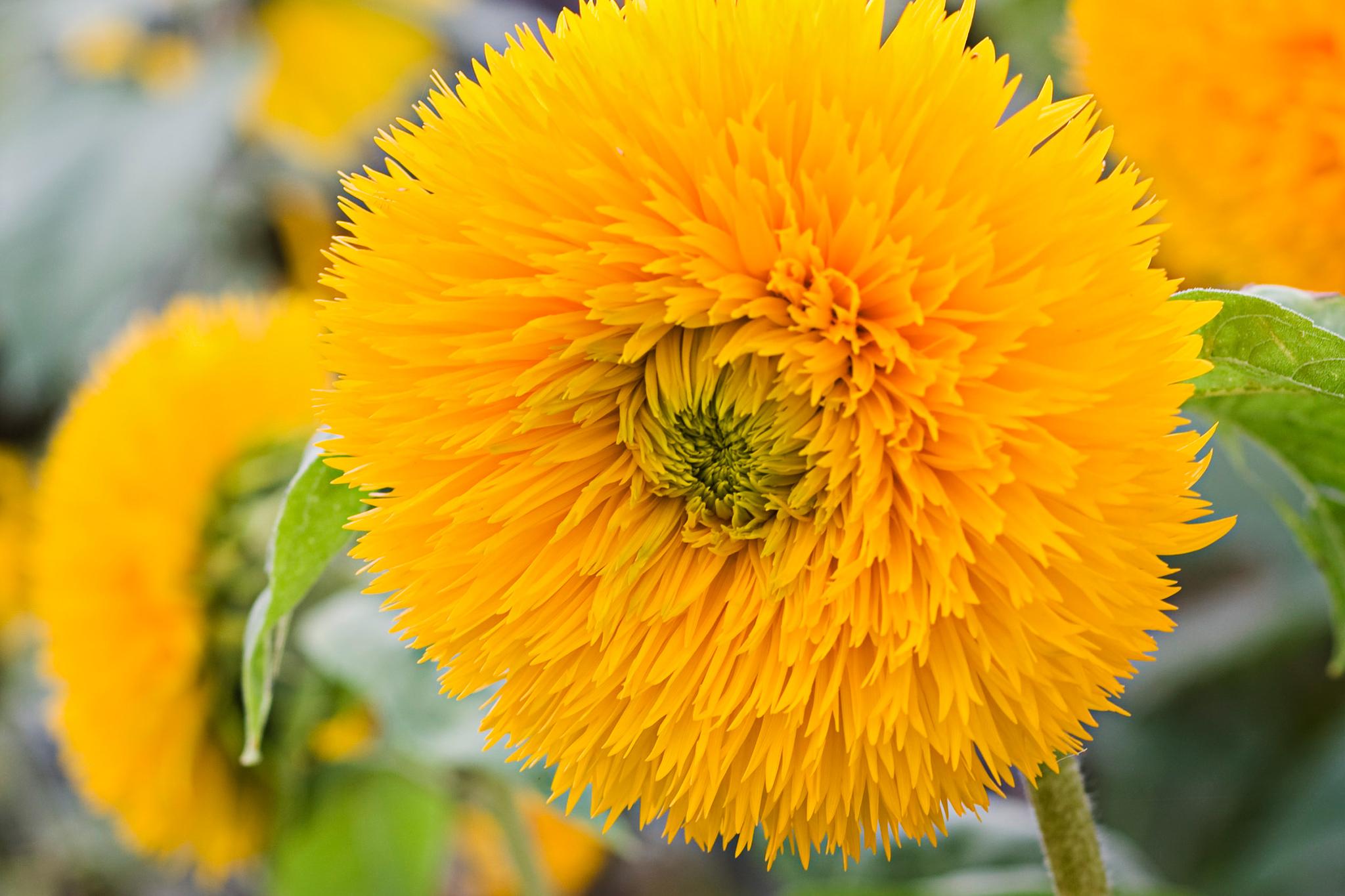 Unusual Sunflowers to Grow