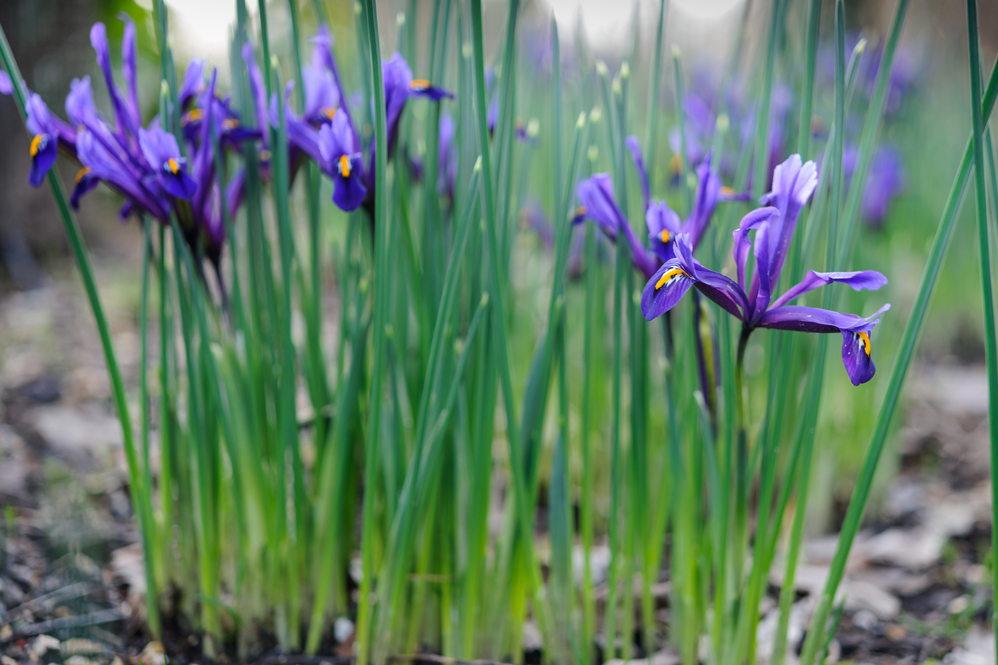 iris-reticulata-in-flower-3