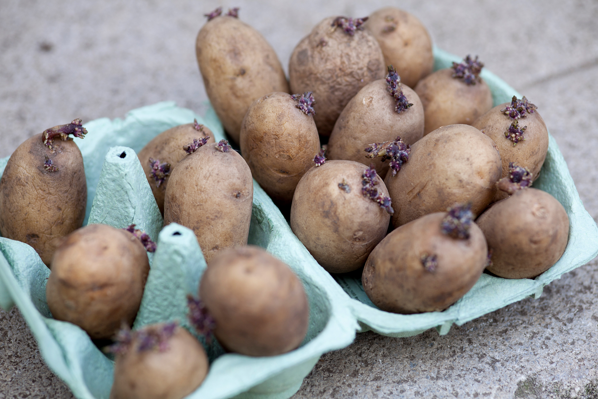 chitting-potatoes-5