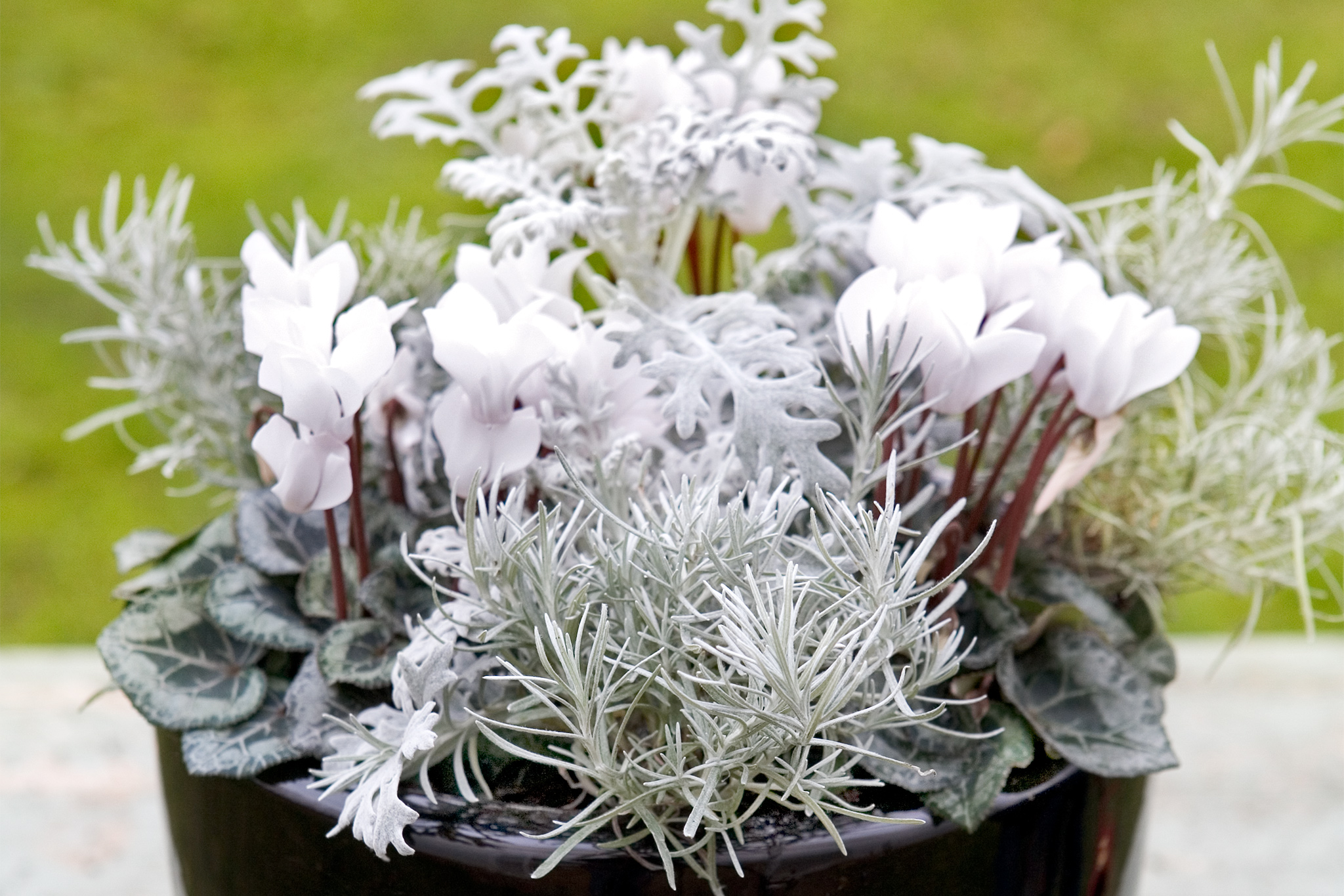 10 Plants With Silver Or Grey Foliage Gardenersworld