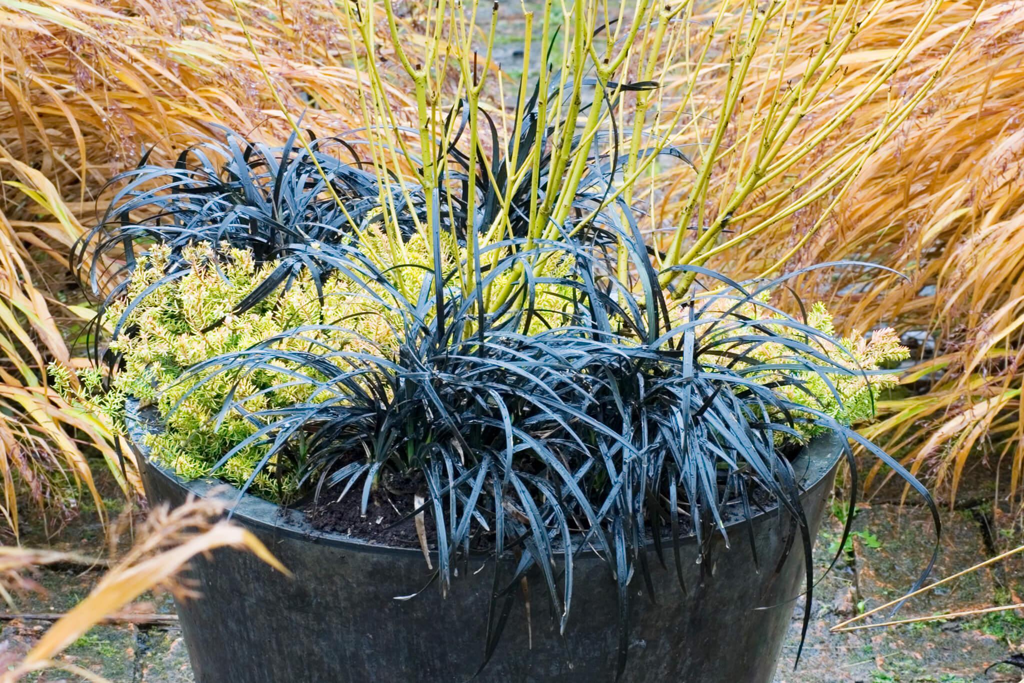 Winter pot display