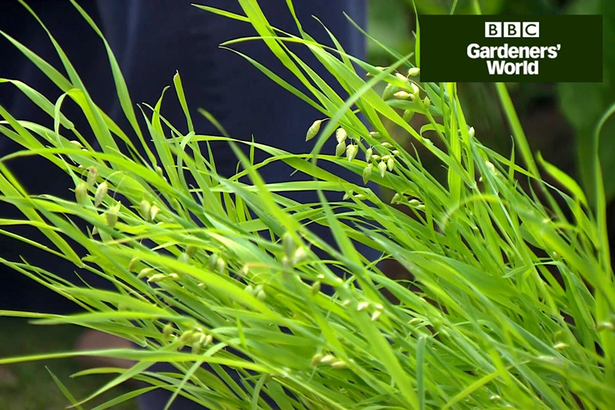 How to plant annual grasses in borders video