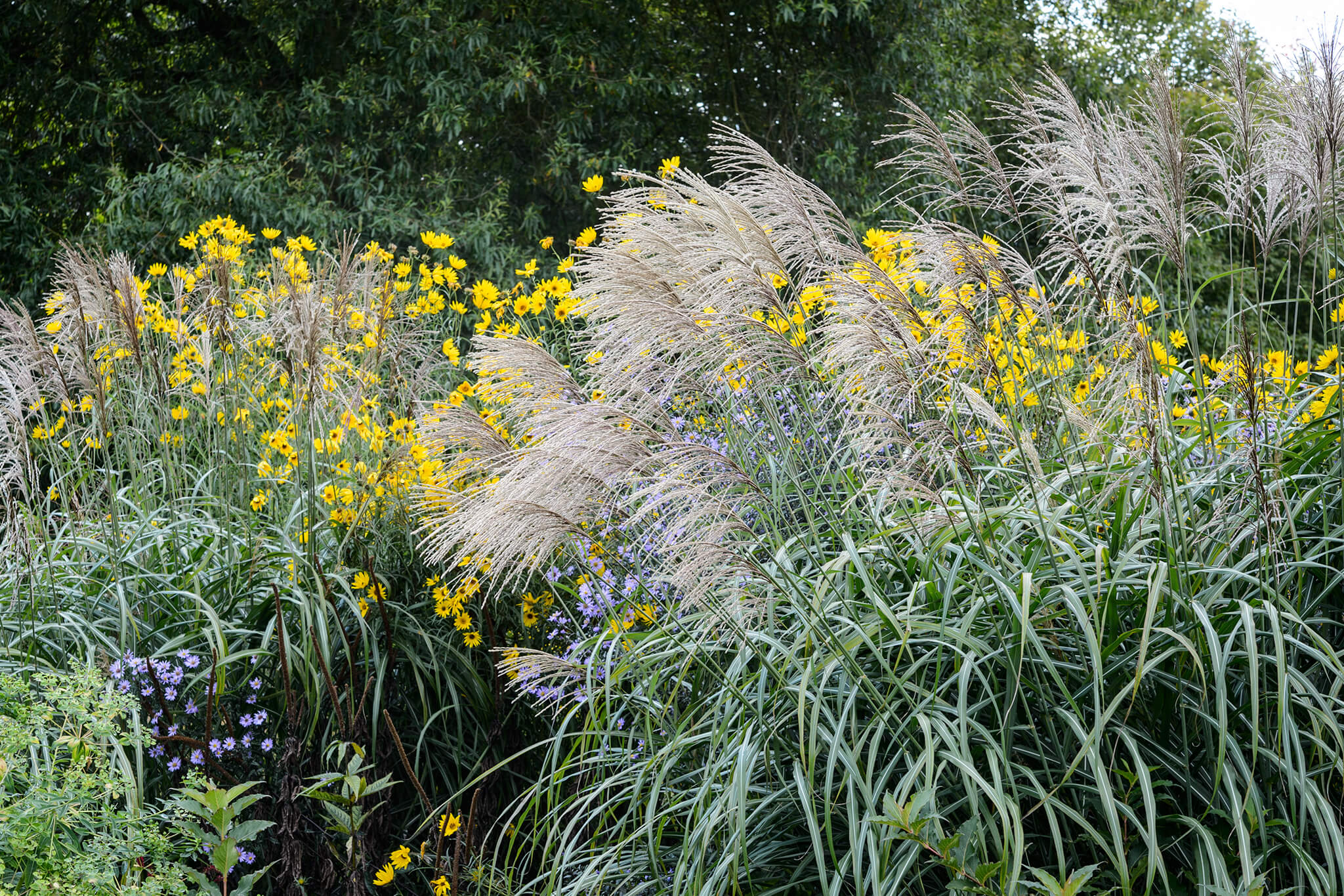 miscanthus-and-helianthus-2