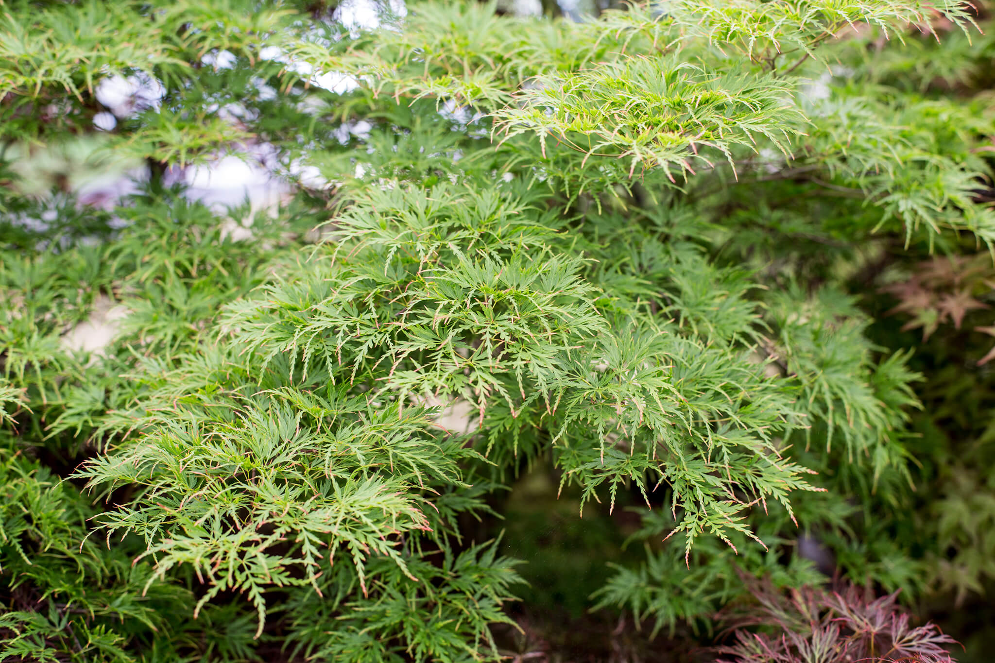 Acer Seiryu