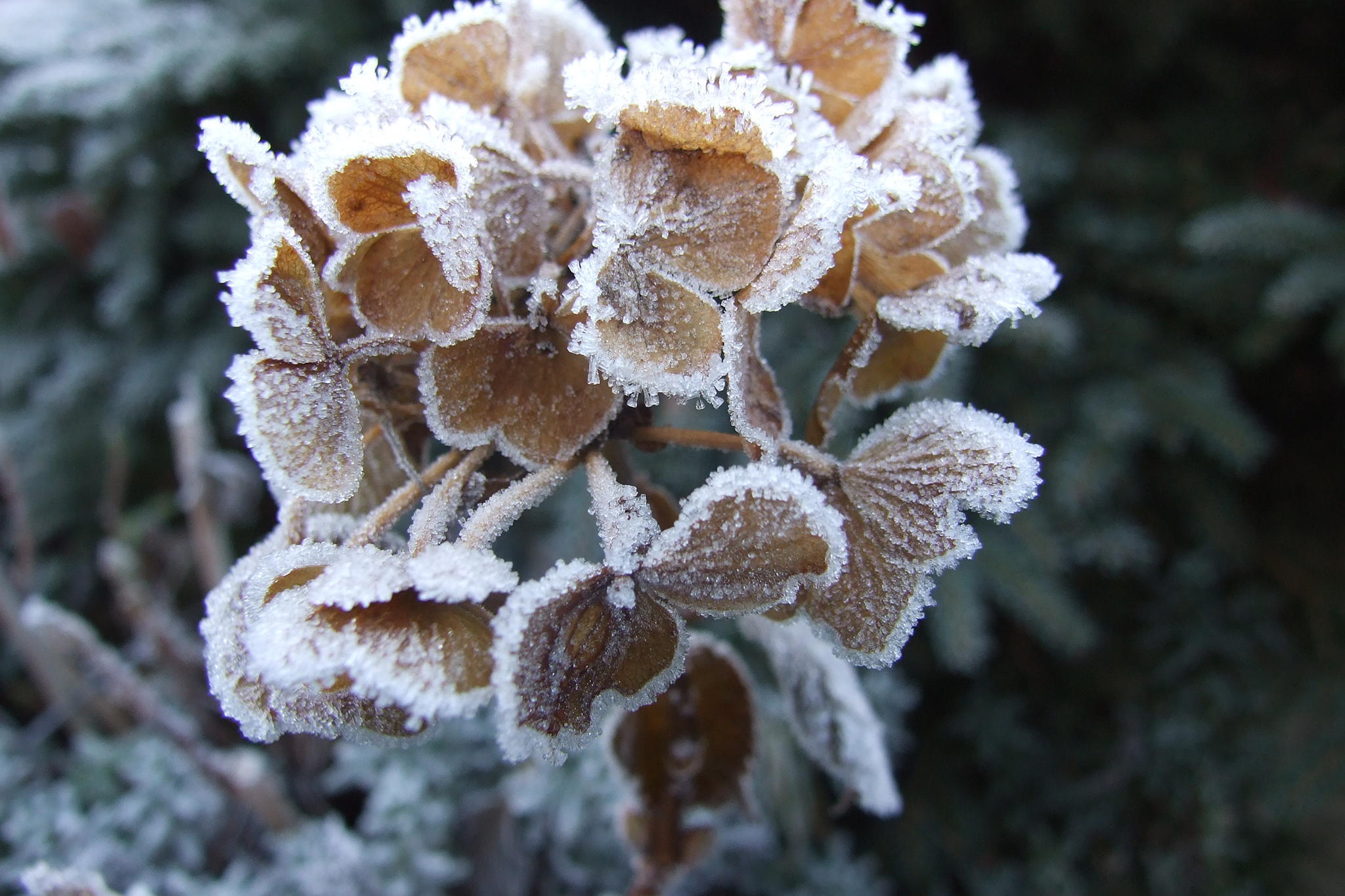 frosty-hydrangea-seedhead-3