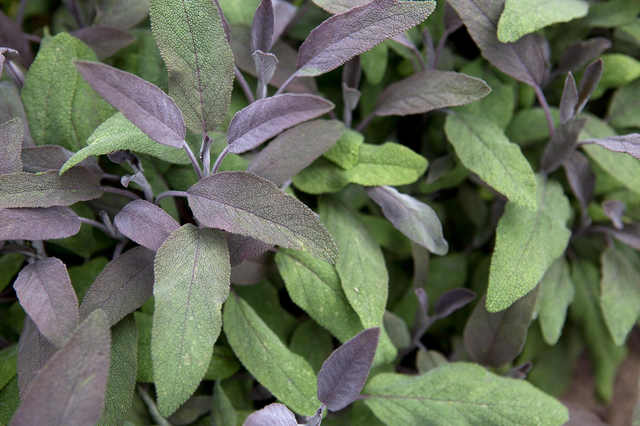 sage-leaves-6