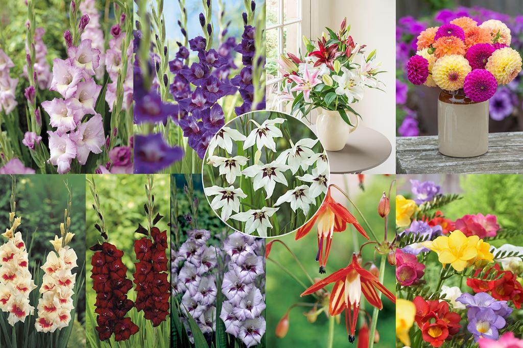 Gladiolus offer