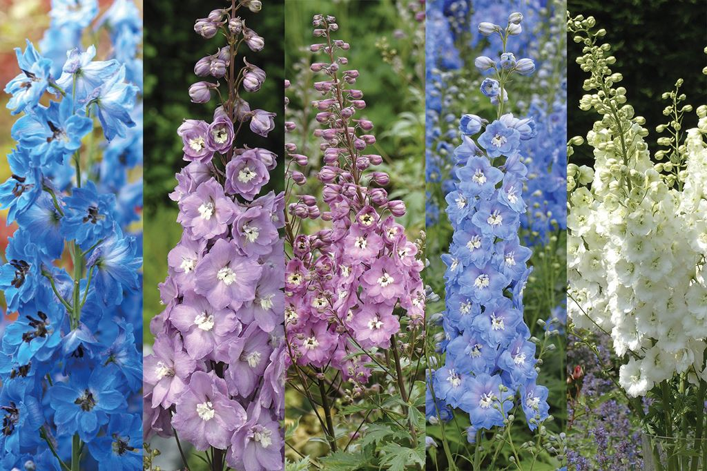 Delphiniums offer