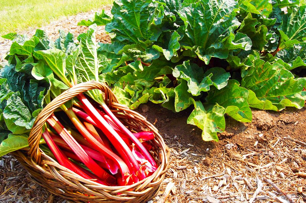 rhubarb offer