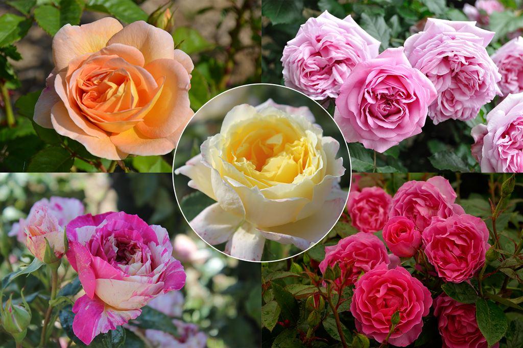 roses offer