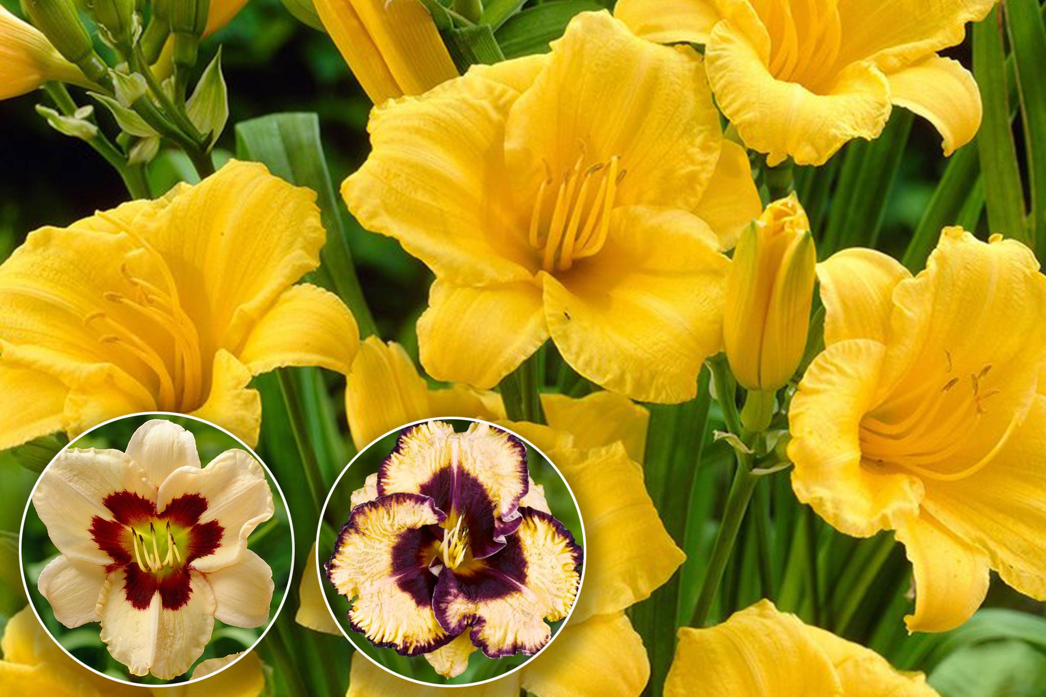 Save 15% on daylilies