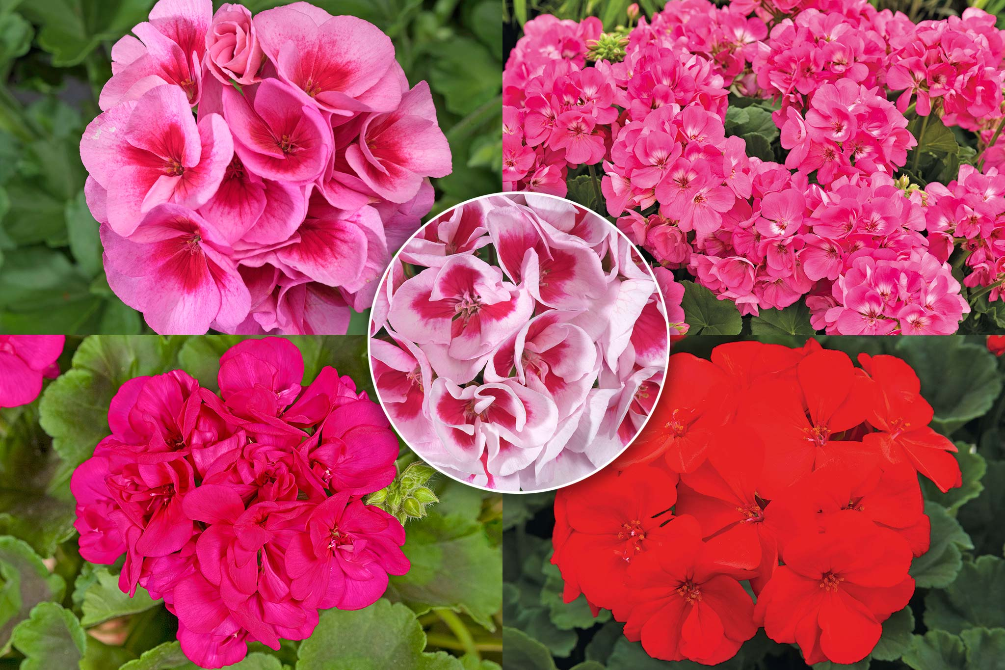 Save on pelargoniums