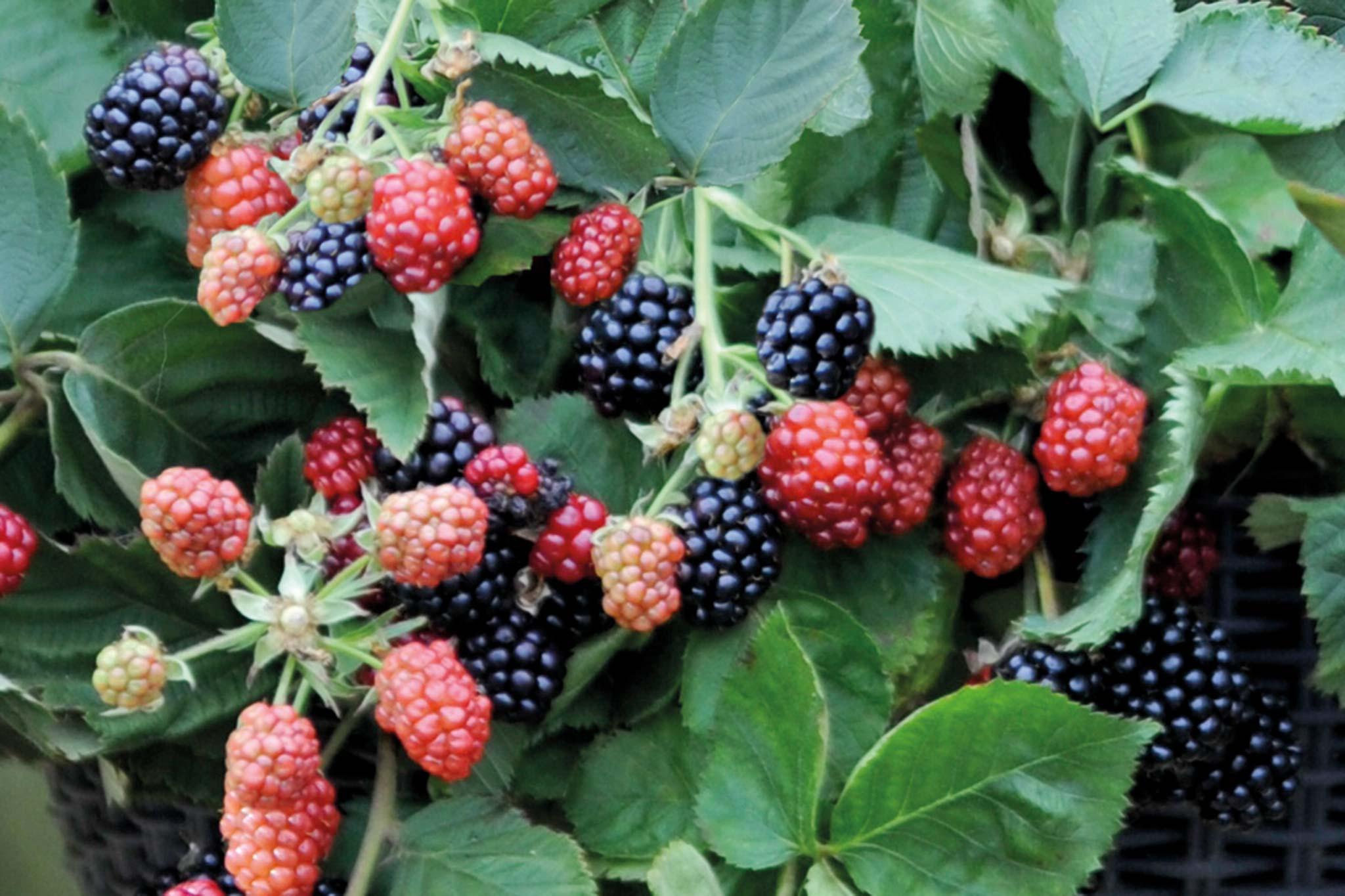 Save on patio blackberries