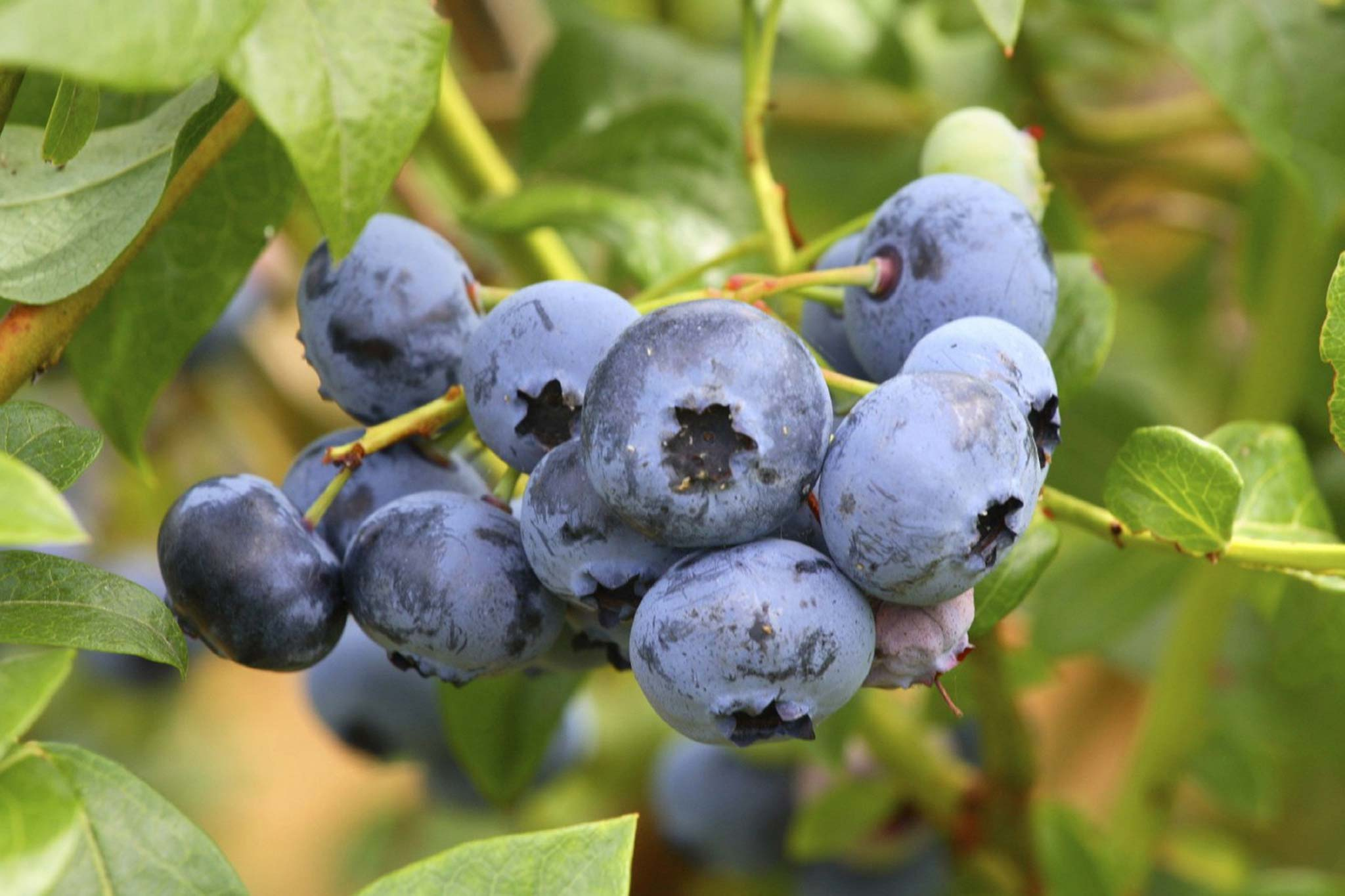Blueberry offerBlueerry offer