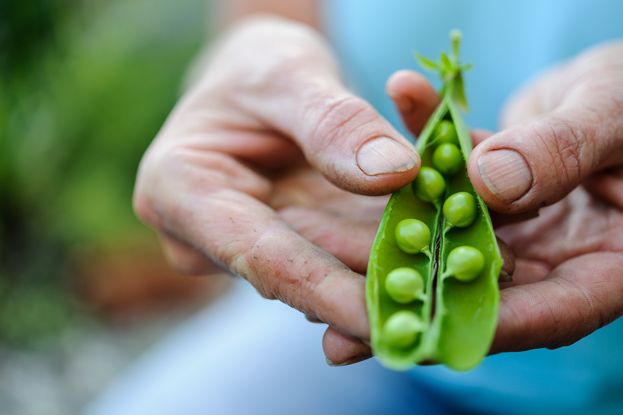 Open pod of peas in hand