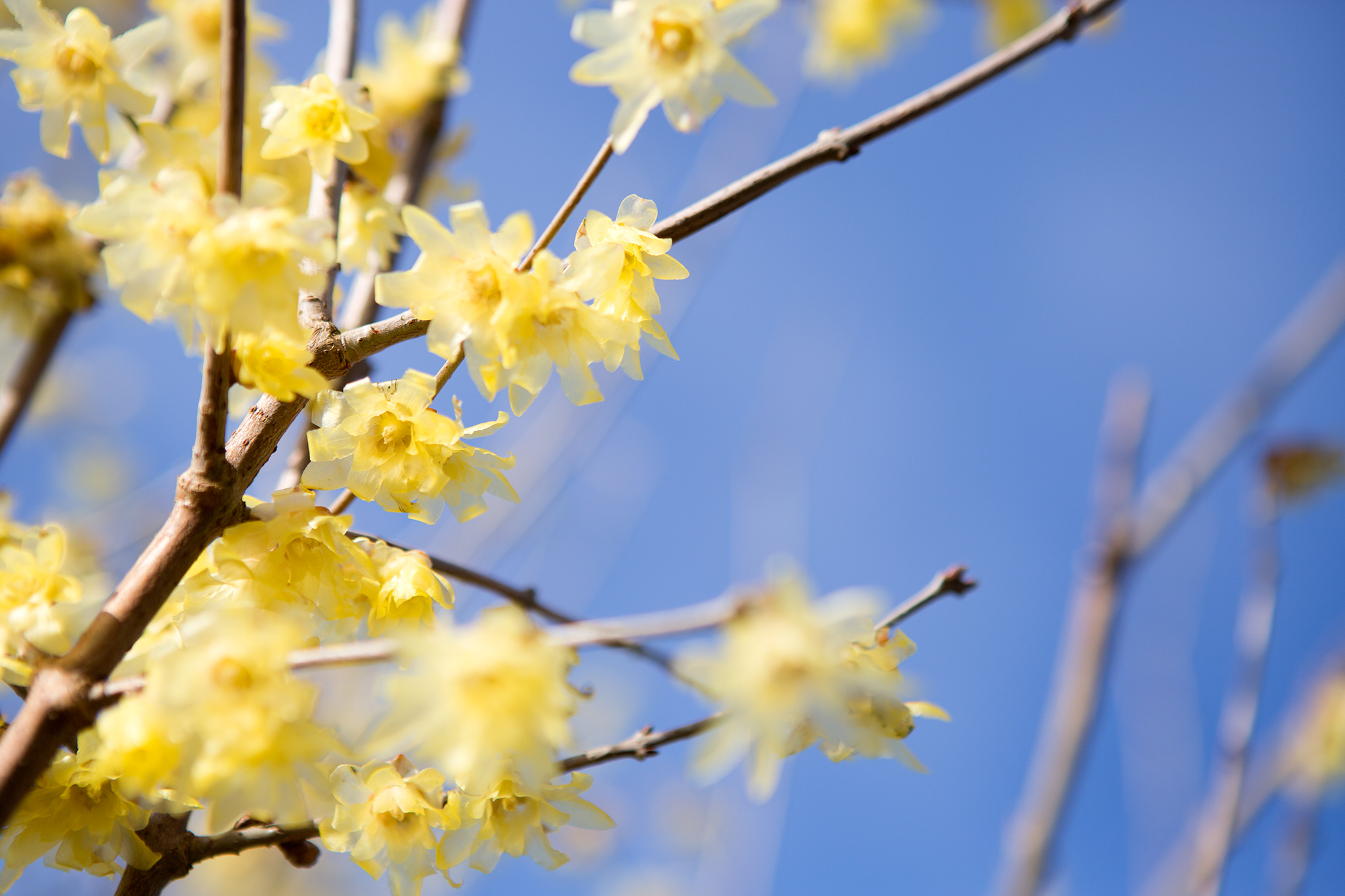 Chimonanthus praecox flowers