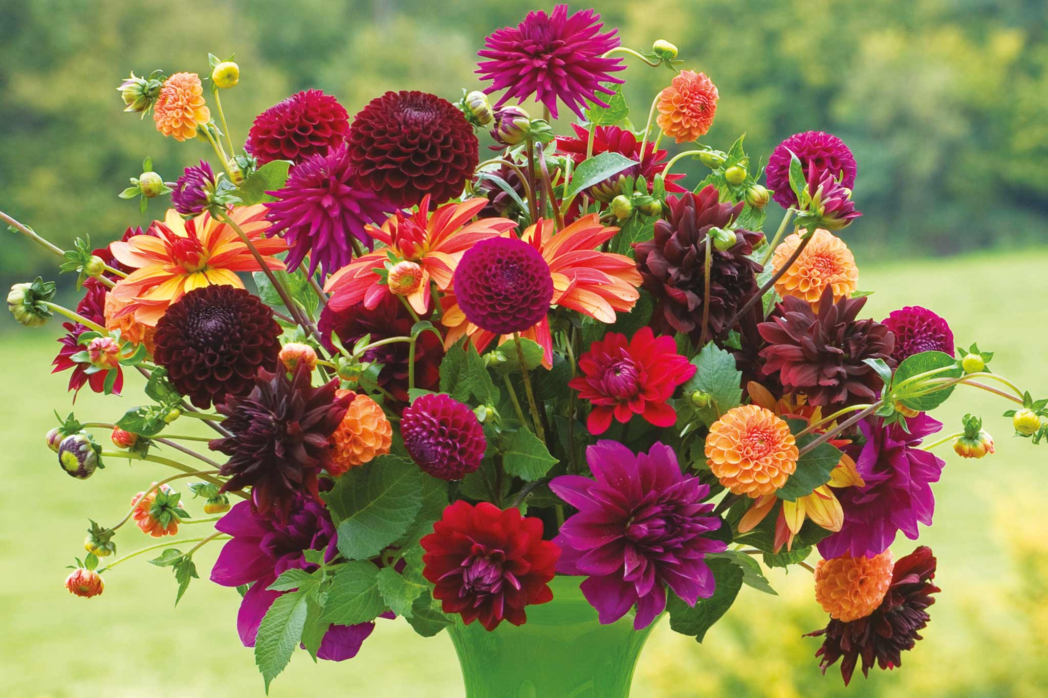 Venetian dahlia collection