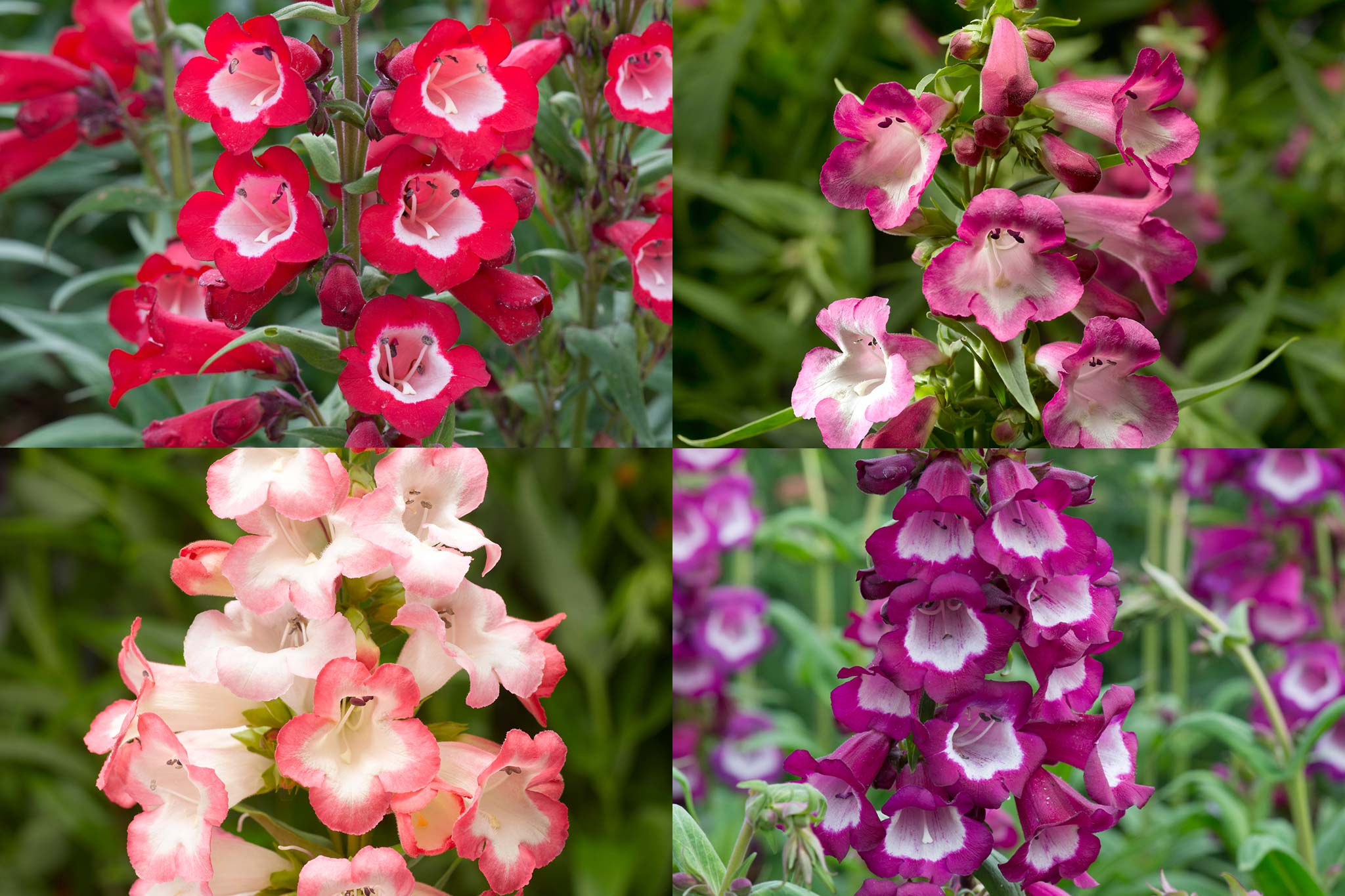 Penstemon flowers