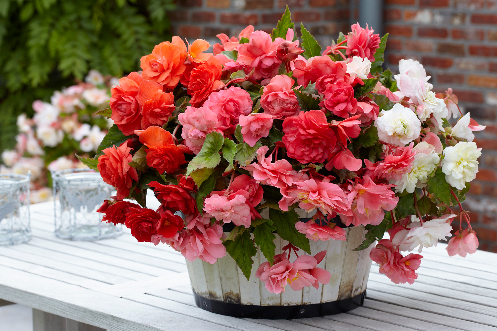 Hayloft begonia offer