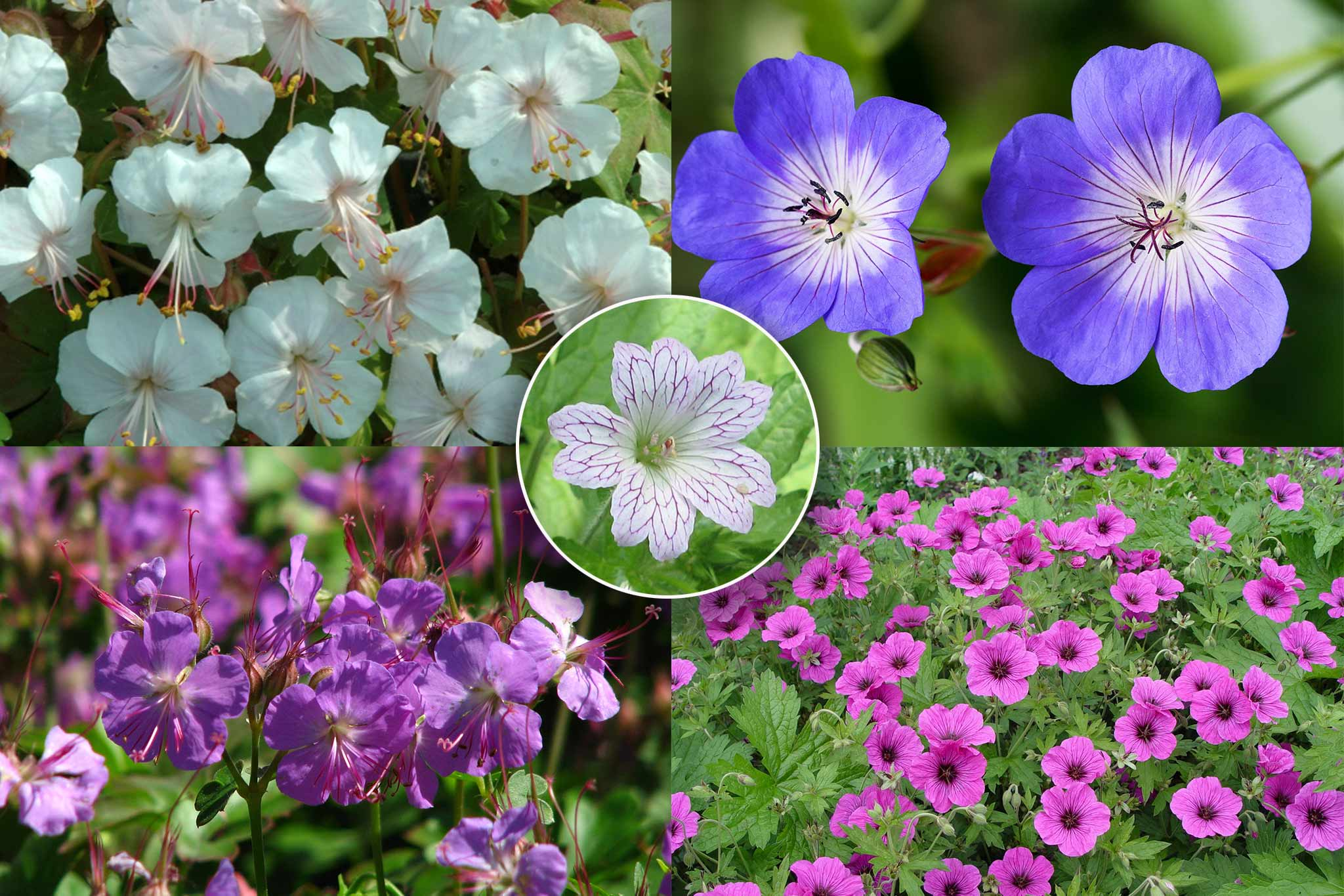 Save £9.99 on geraniums