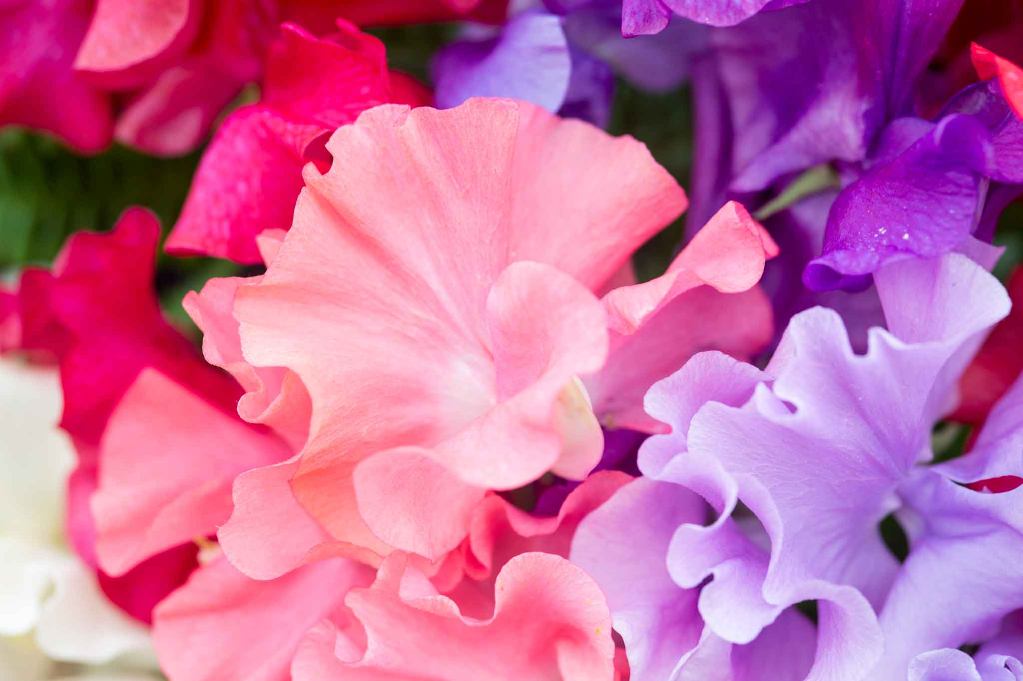 Save on sweet peas