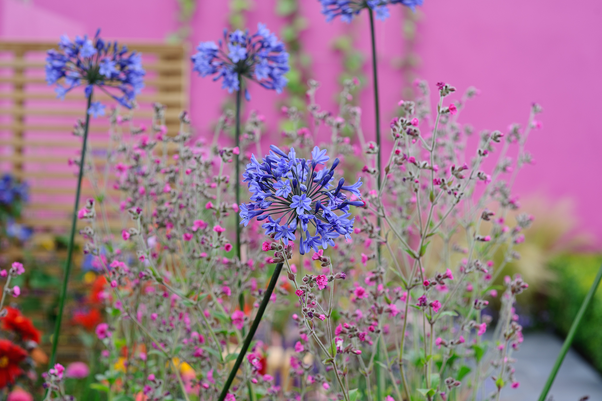Blue-flowering agapanthus grows with Salvia agrostemma